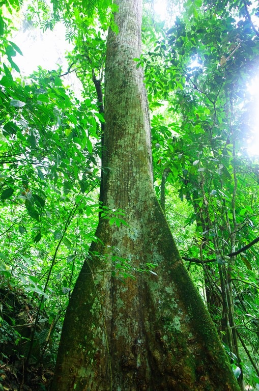 Giant ceiba tree of Colombia's rainforest by Dan Steeves