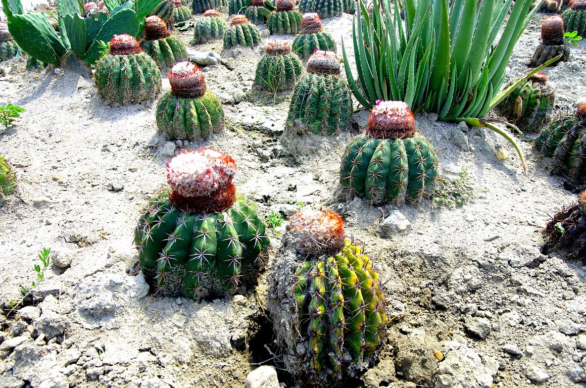 Barrel cactus of Tatacoa Desert in Colombia by Dan Steeves