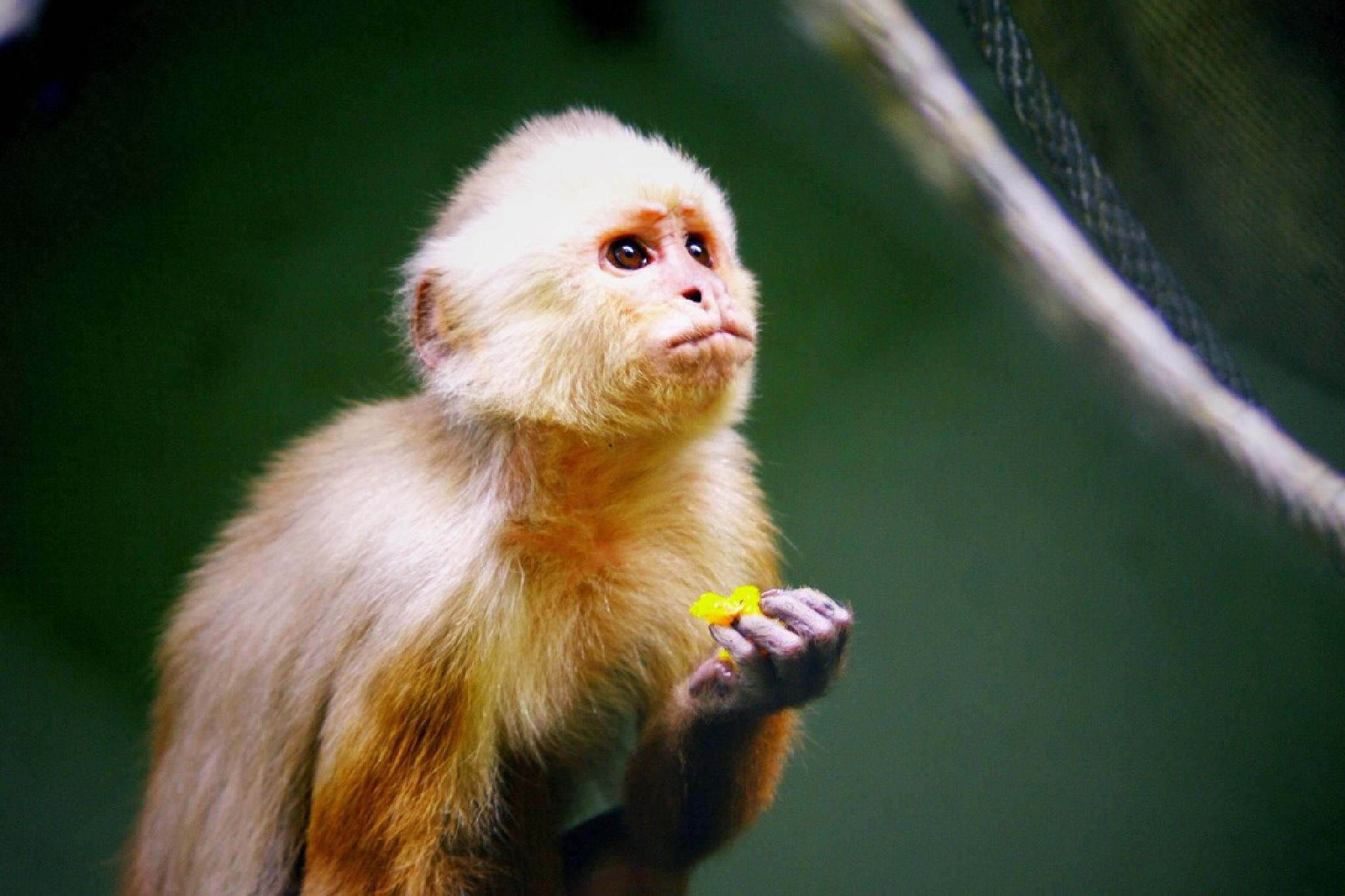 Sad little capuchino by Dan Steeves