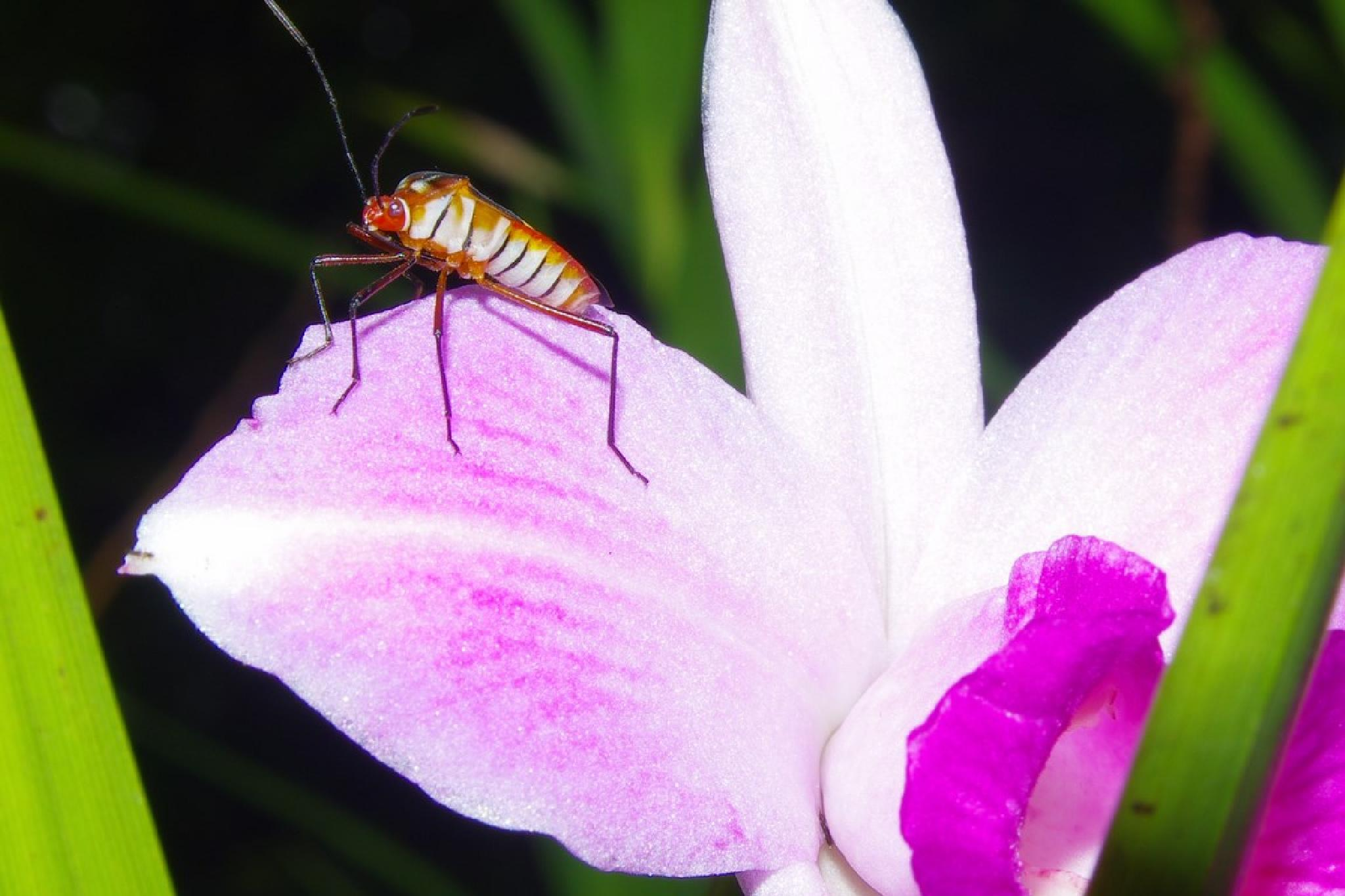Bug on an orchid by Dan Steeves
