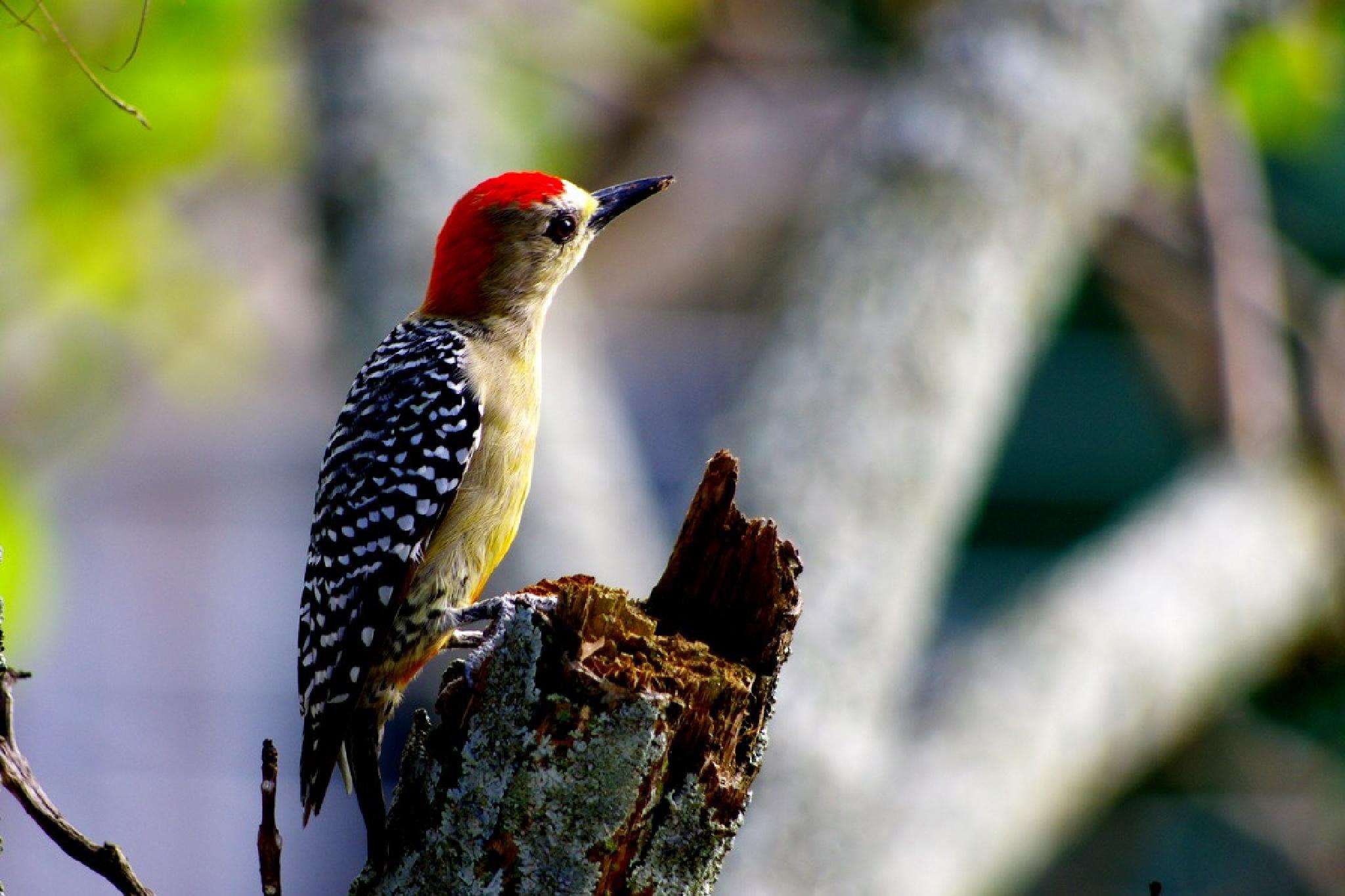 Little woodpecker of Colombia by Dan Steeves