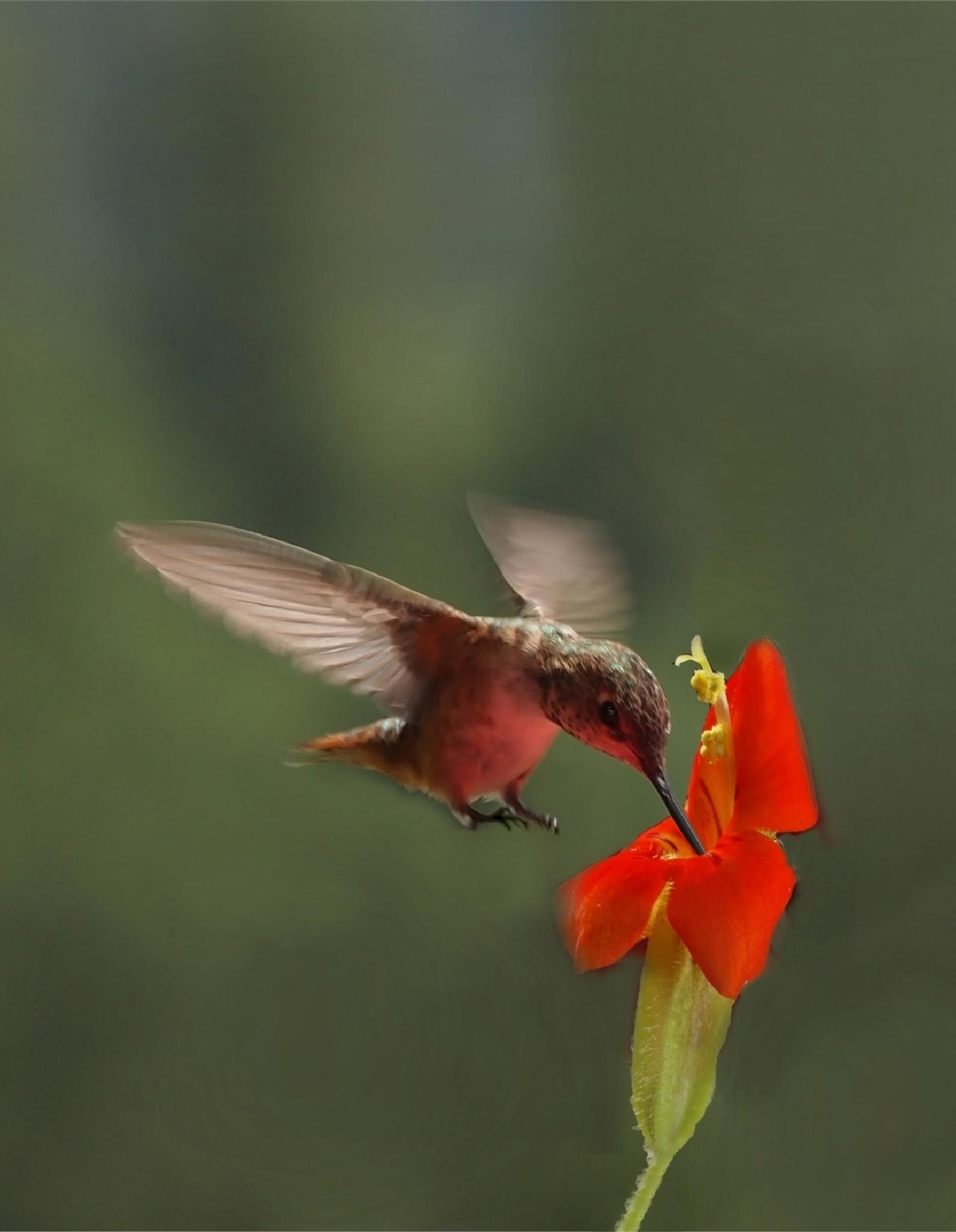 """""""Rufous Hummingbird"""" by CharlieBaugh"""