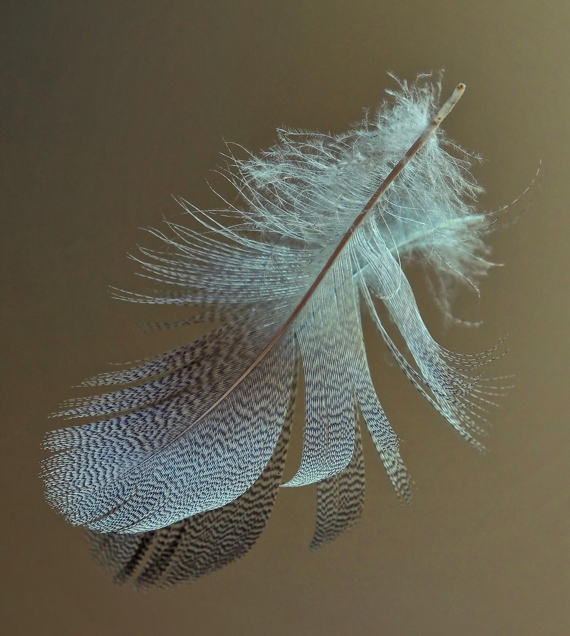 """""""Goose Feather"""" by CharlieBaugh"""