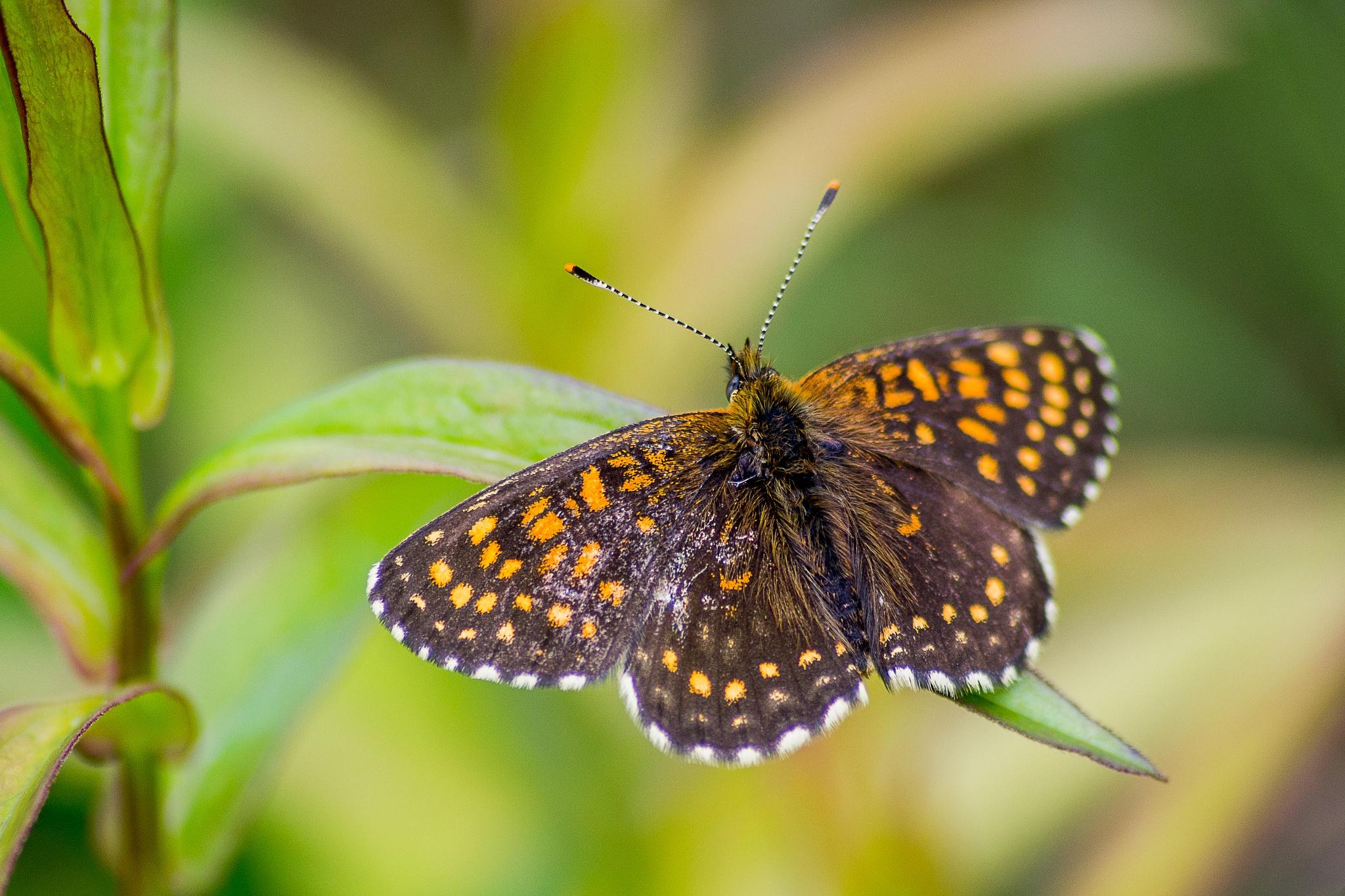 Butterfly by Kristine Dokane