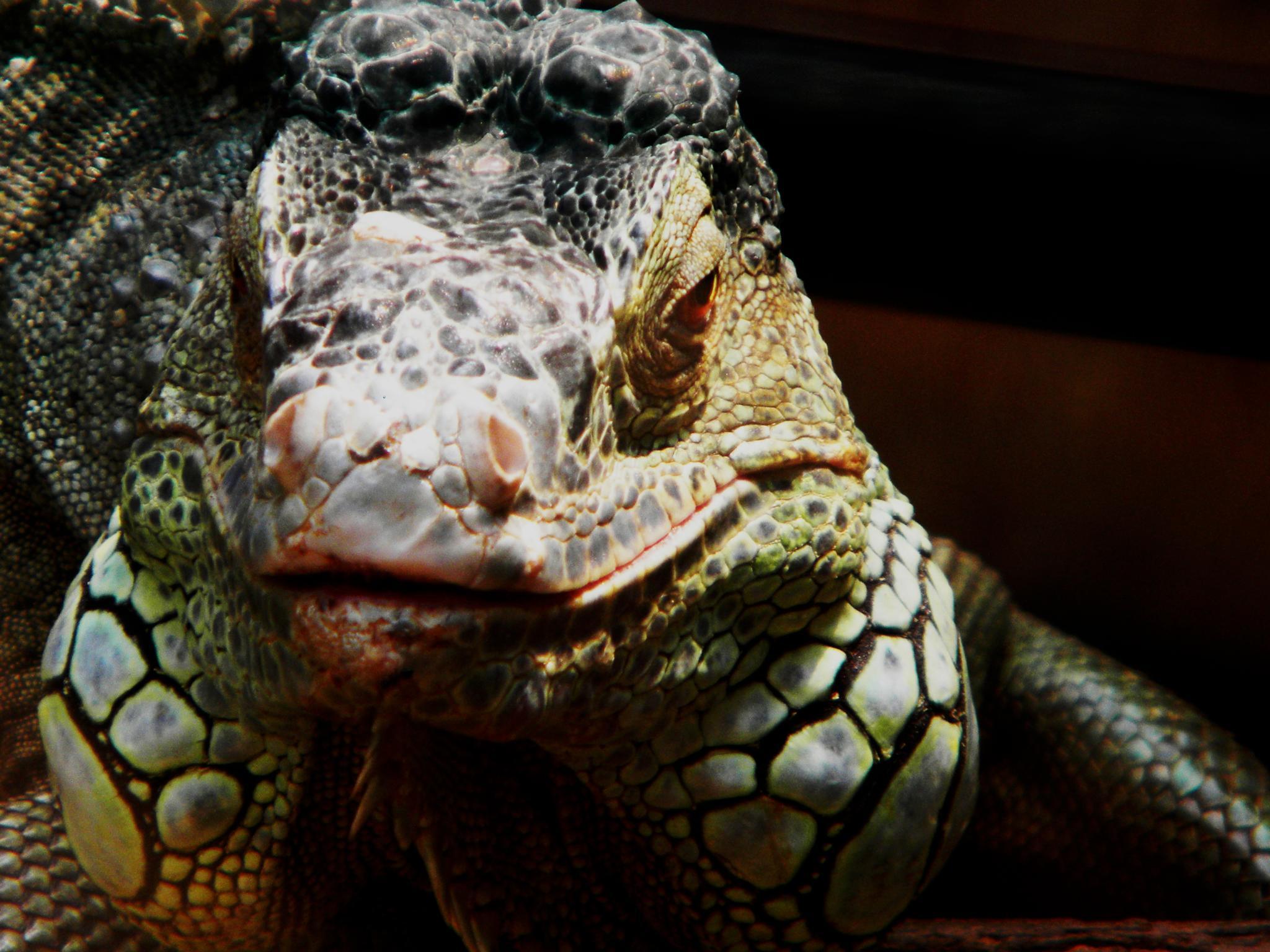 iguana by RayPatti's Photography