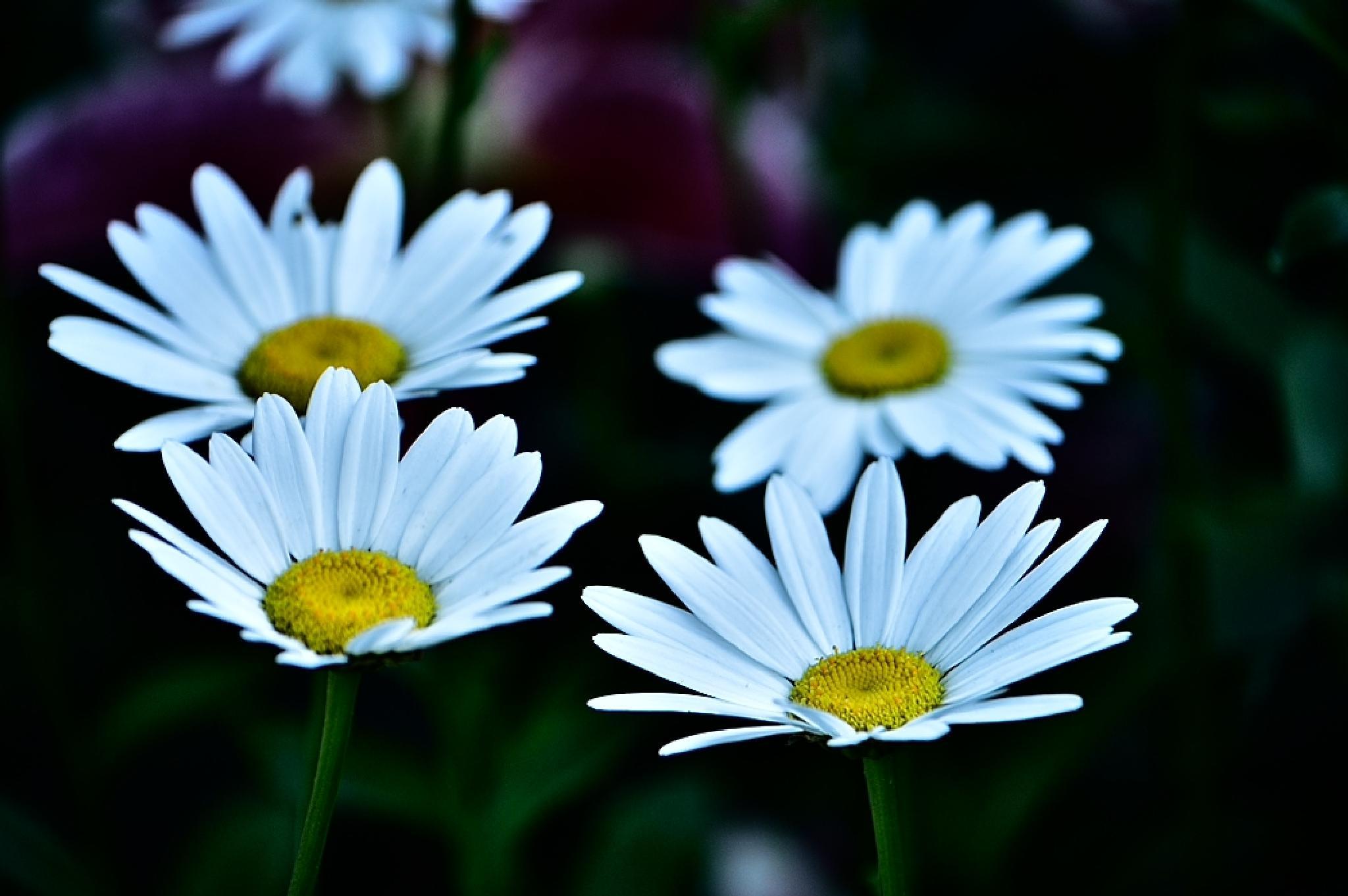 Photo in Nature #daisy #flower #flower photography #tim hauser #tim hauser photography #art #fine art