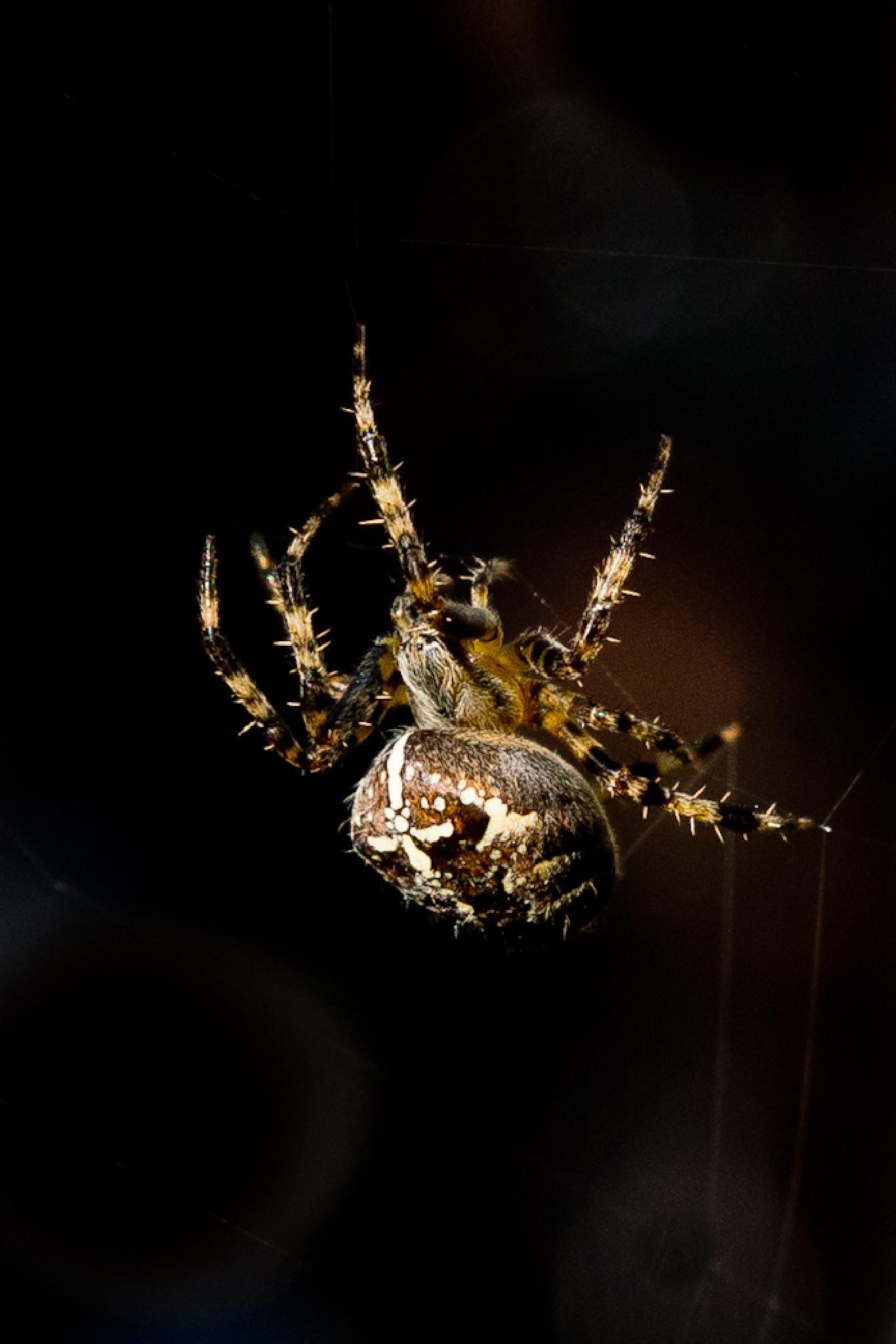 Spider by knorth26