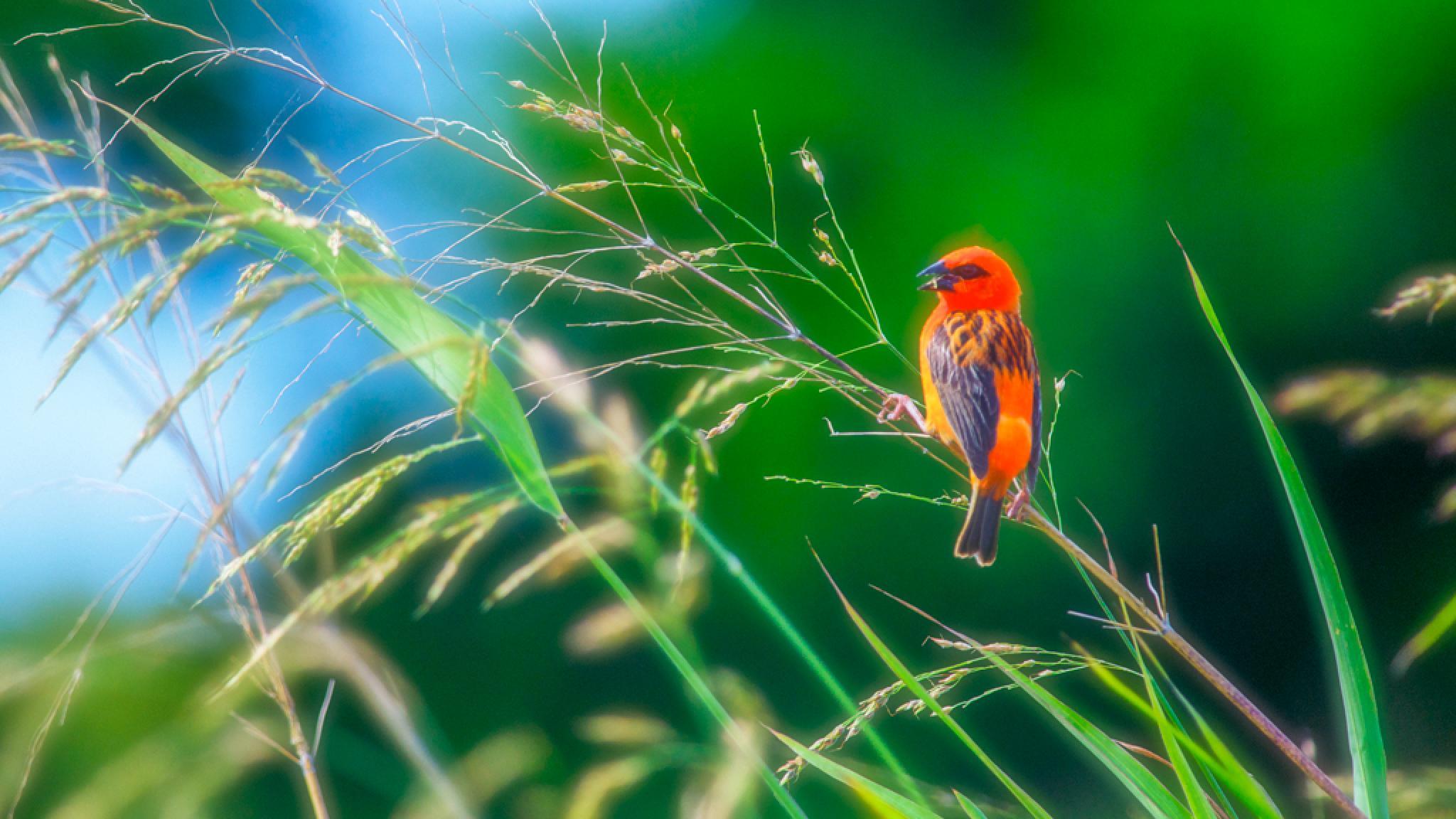 Cardinal ou l'oiseau rouge by desire.lilyman