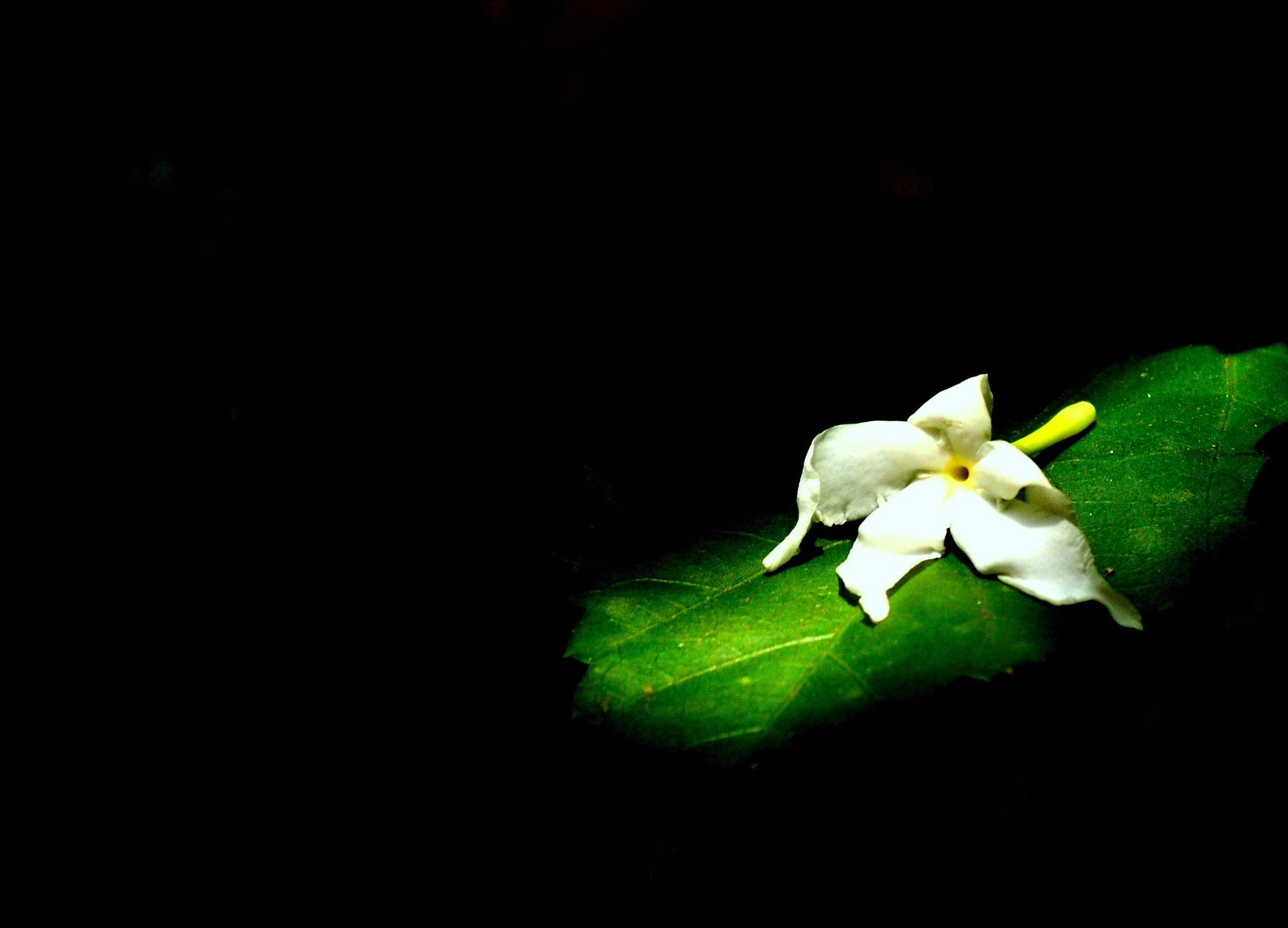 A fallen flower by Pradeep Krishnan