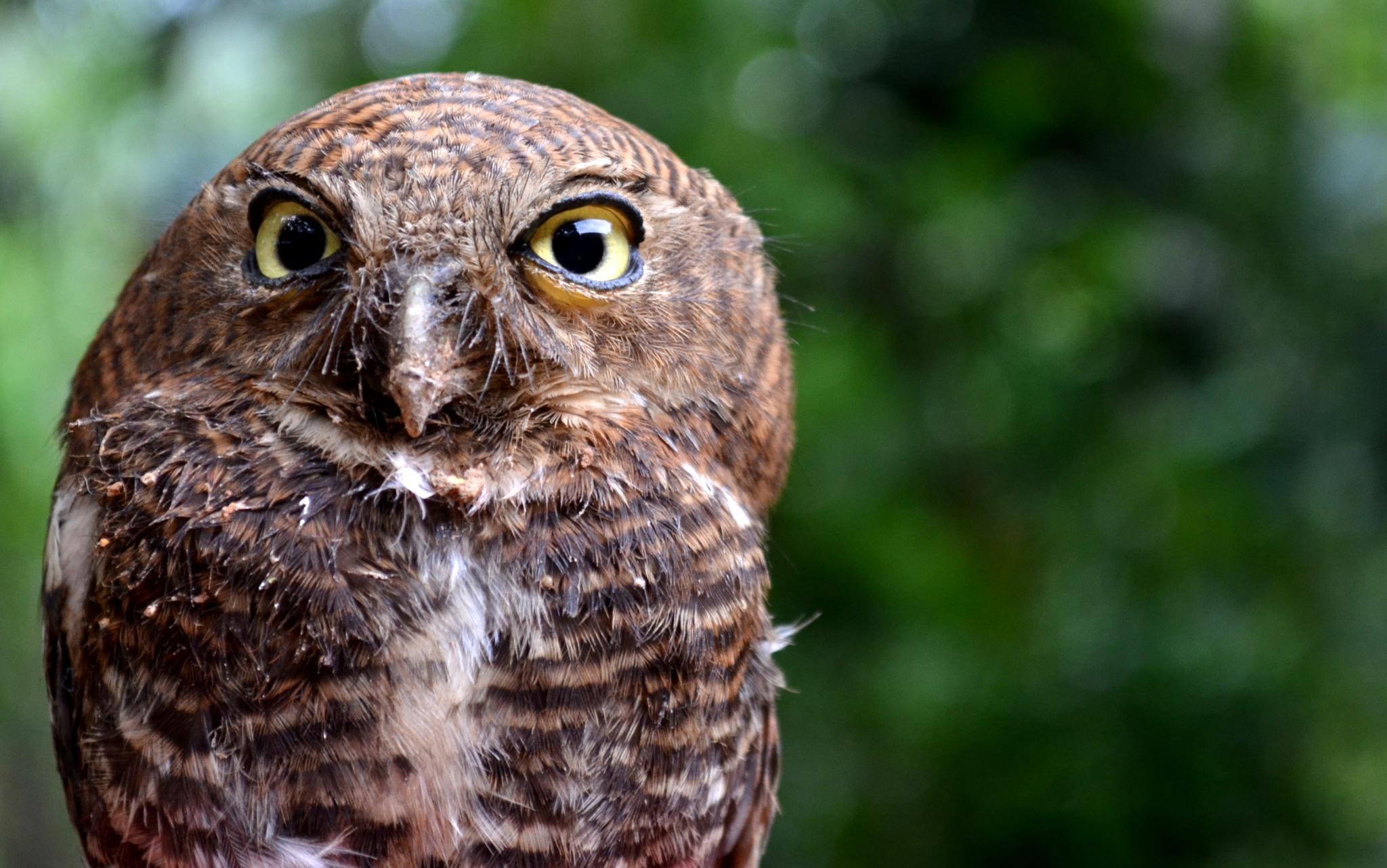 Jungle Owlet by Pradeep Krishnan
