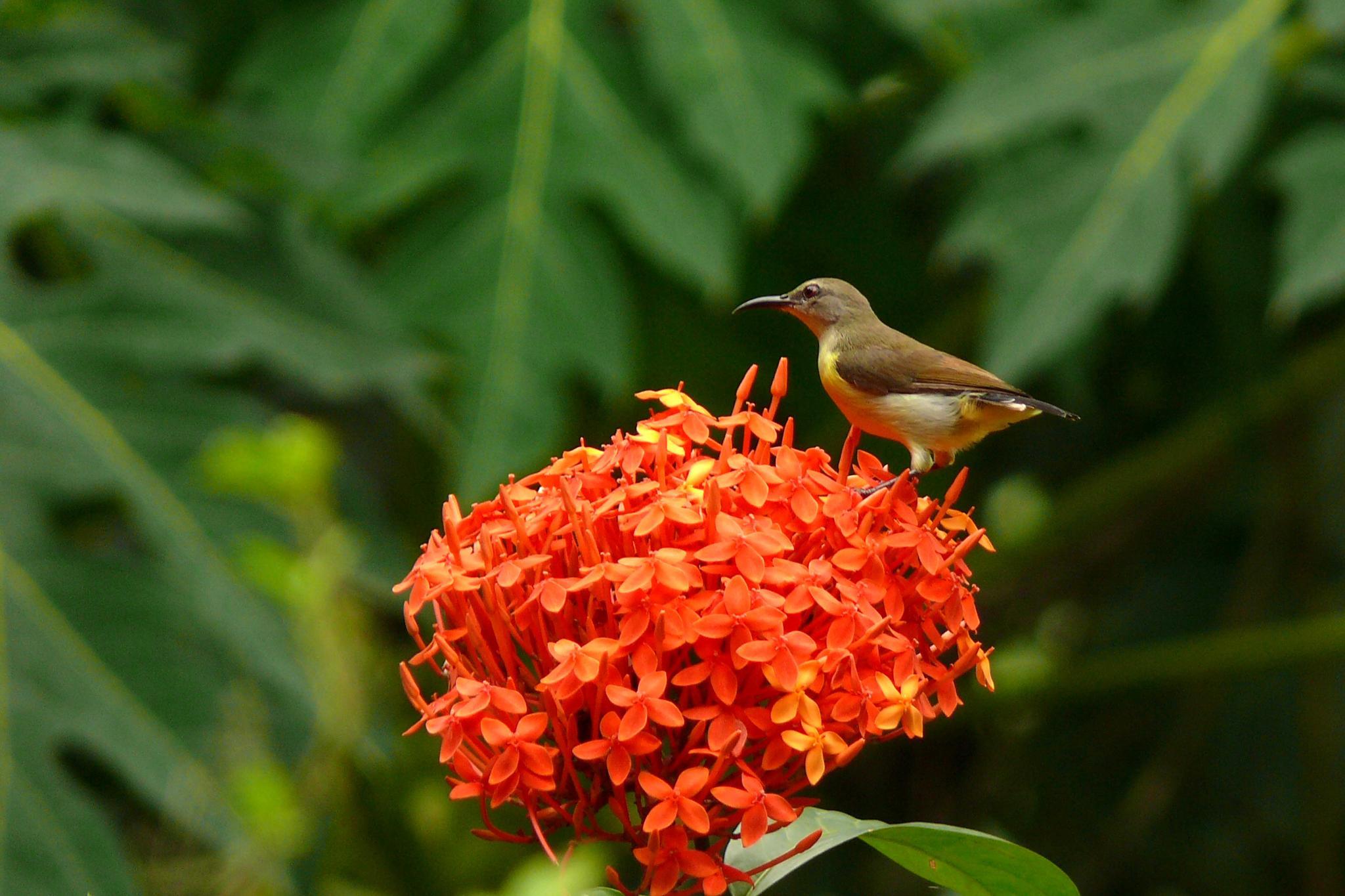 Sun bird by Pradeep Krishnan