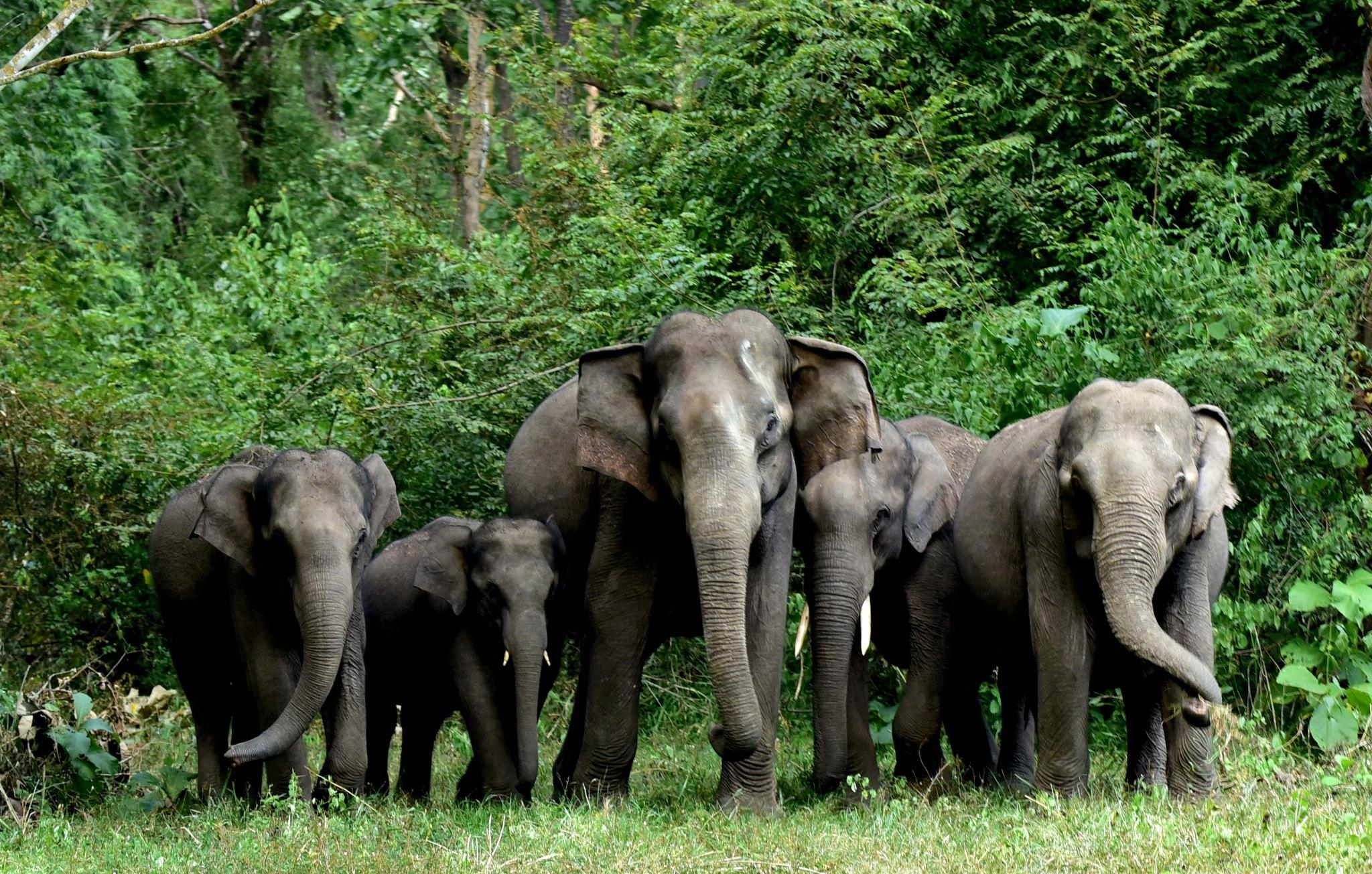 Asiatic Elephant Herd by Pradeep Krishnan