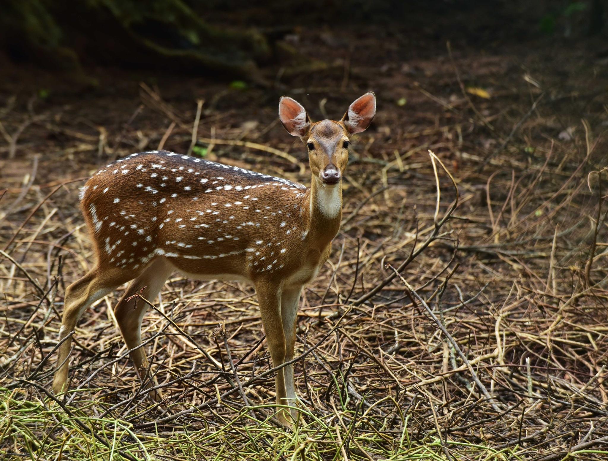 Spotted Deer by Pradeep Krishnan