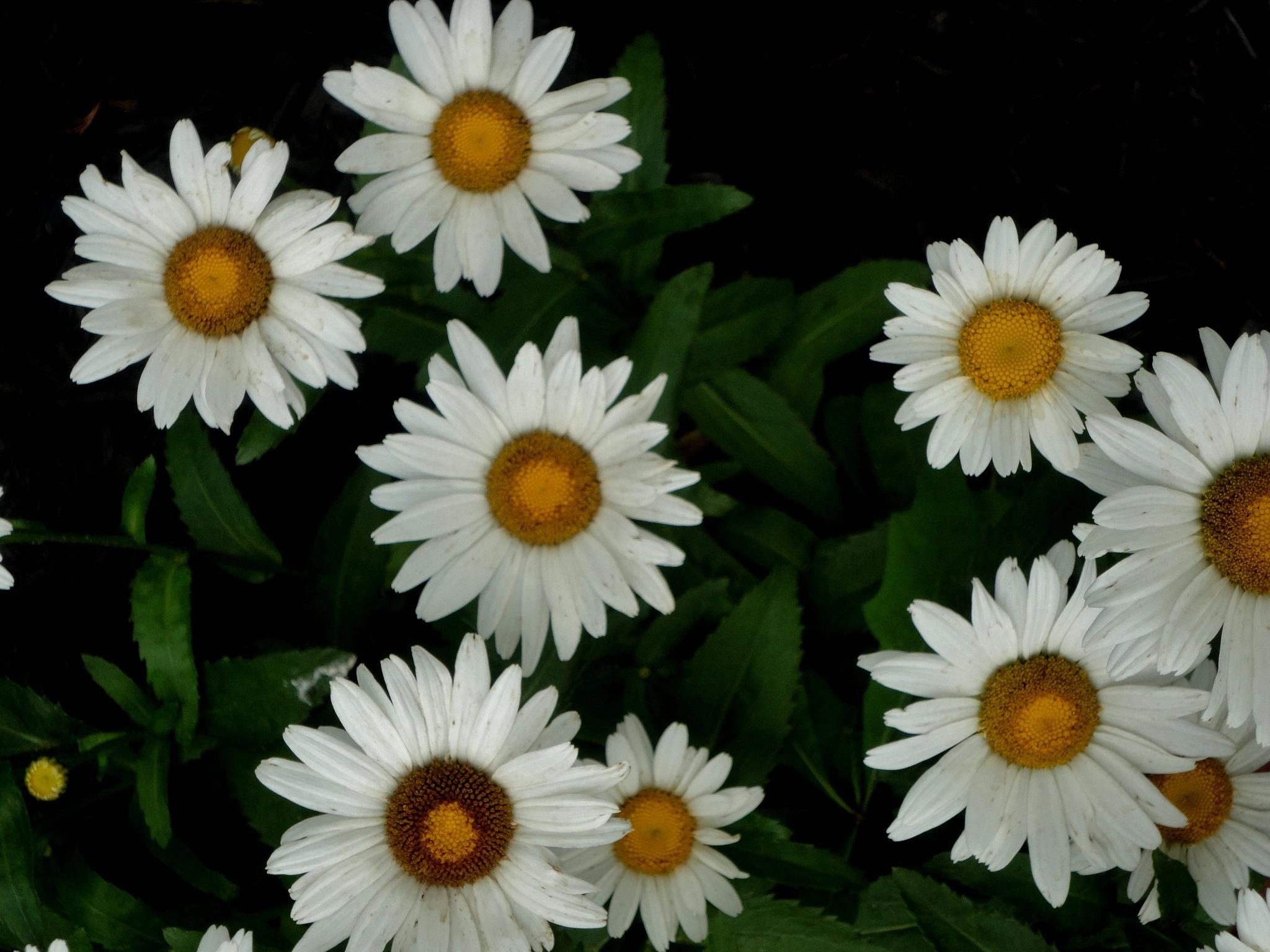 Daisies by nancy.mitchell3