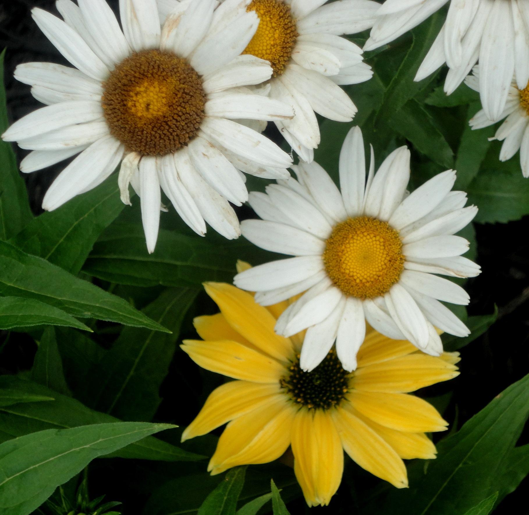 Yellow & White Daisies by nancy.mitchell3