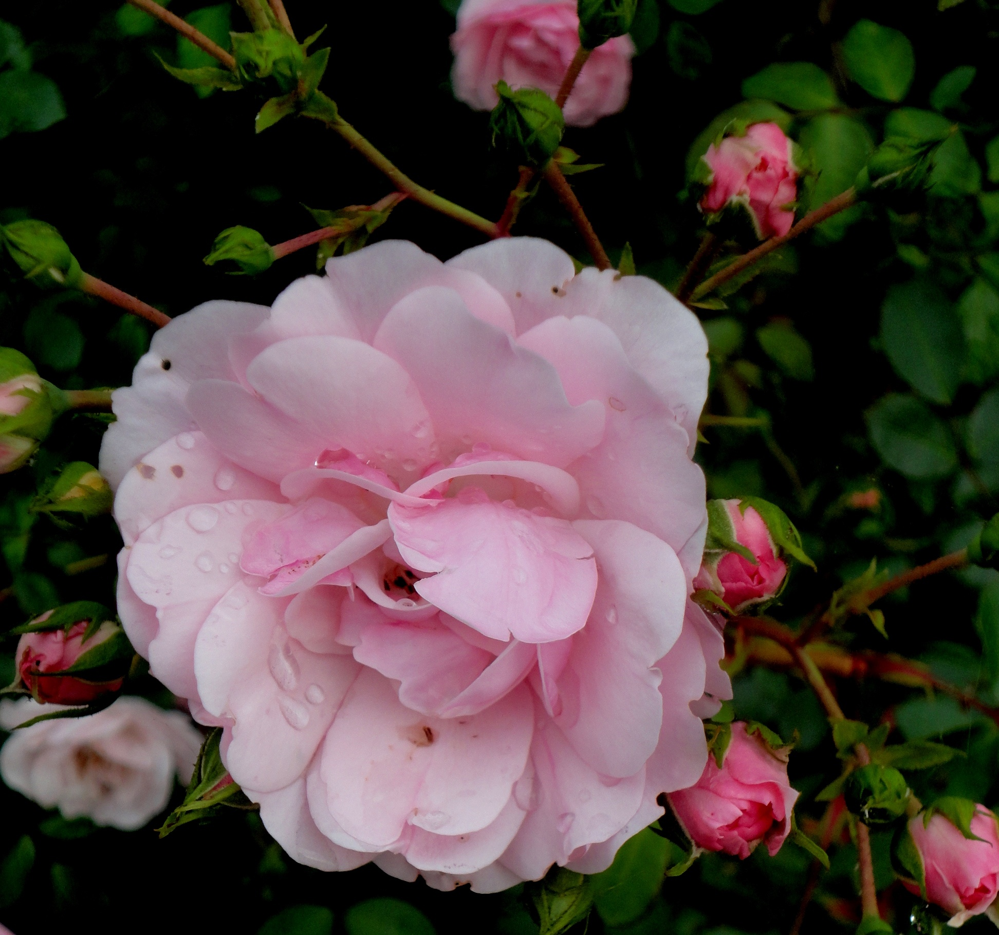Roses from my yard by nancy.mitchell3