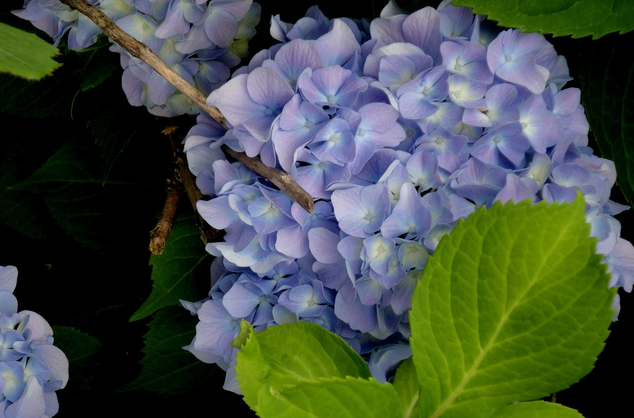 Hydrangeas  Blooming by nancy.mitchell3