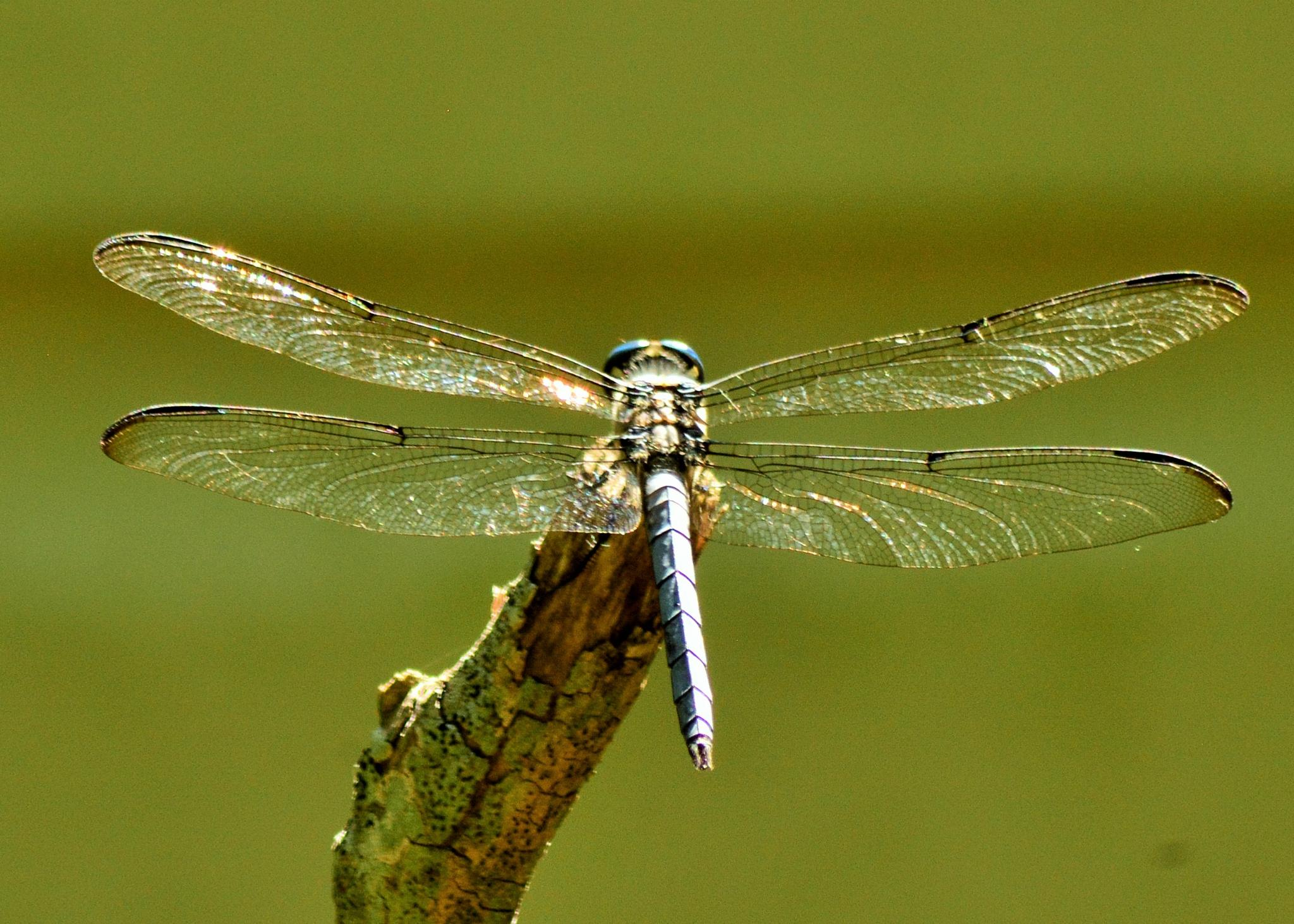 Dragonfly shining in the sun by Kathy