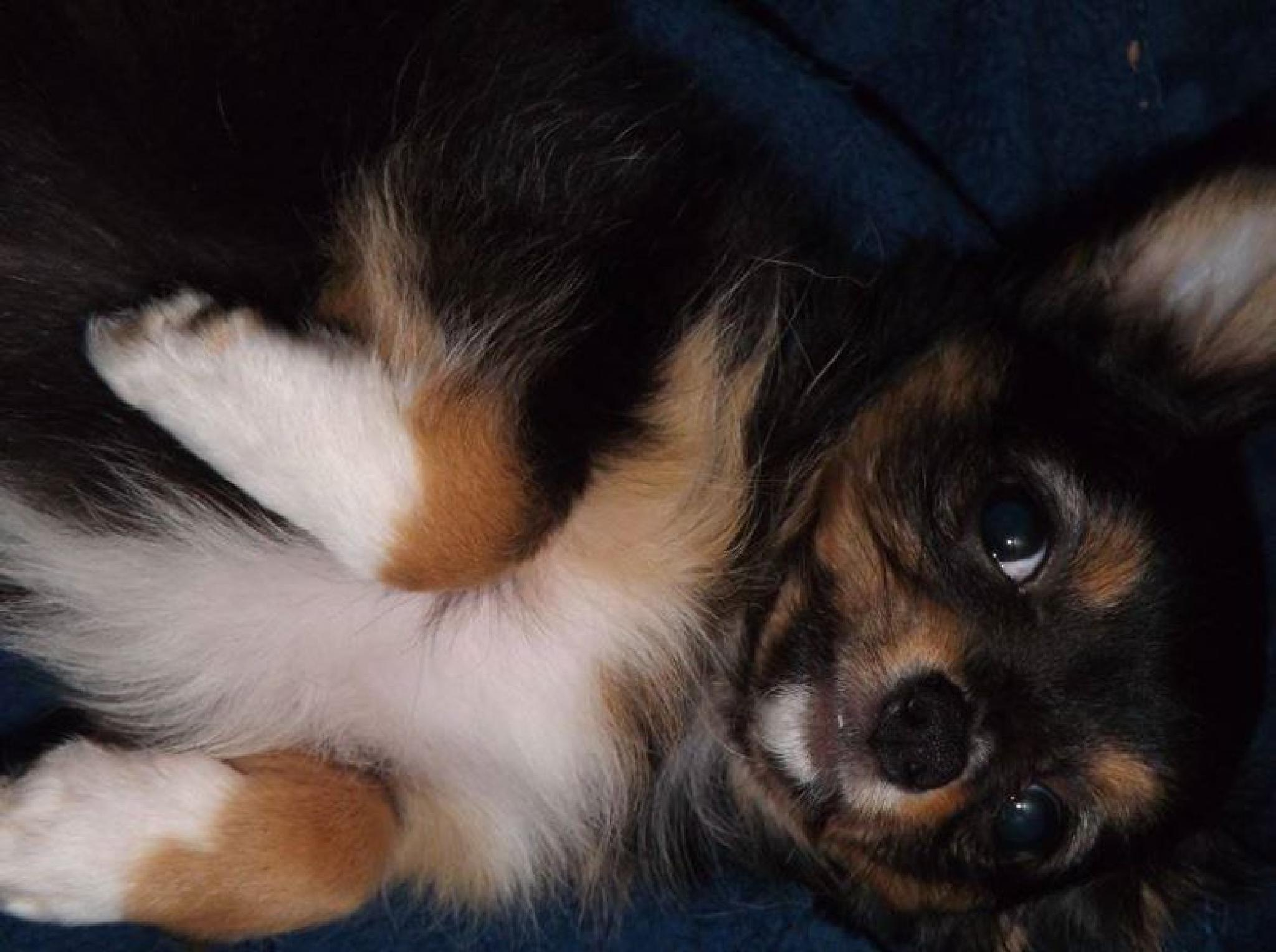My Long Haired Chihuahua Hutta posing for the camera by Quentin den Braber