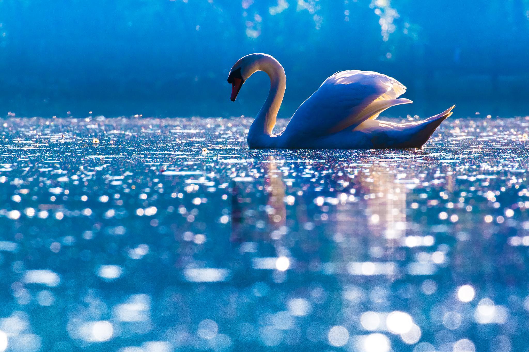 Blue Swan by messedupmojo