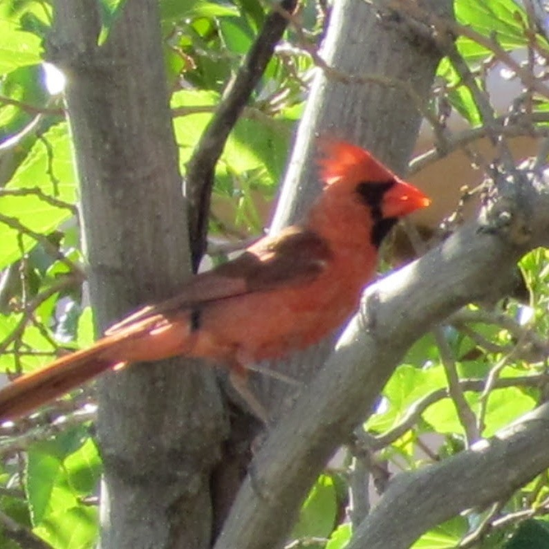 Mr. Cardinal by molterserrano