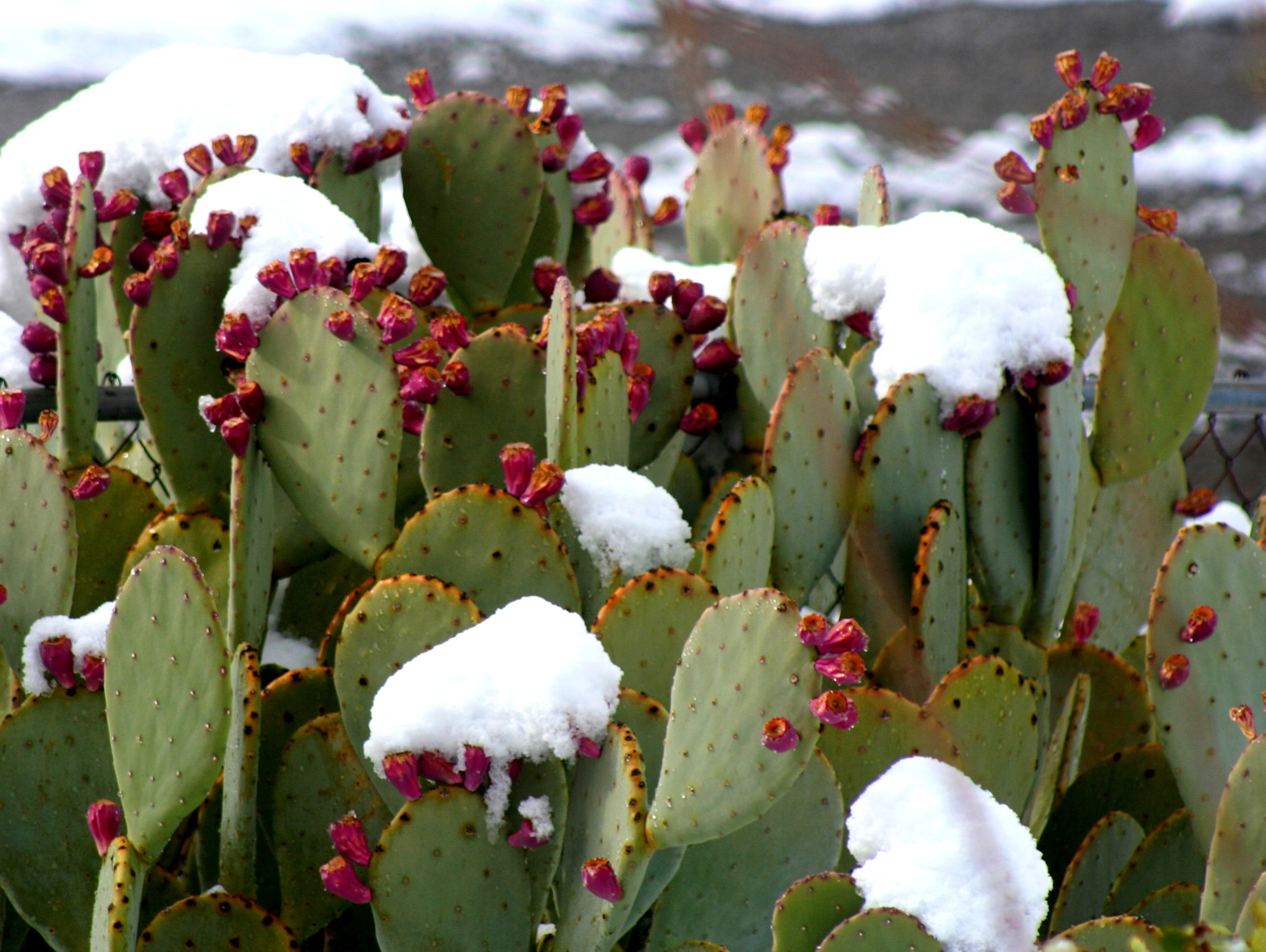Snow on Prickly Pear by molterserrano