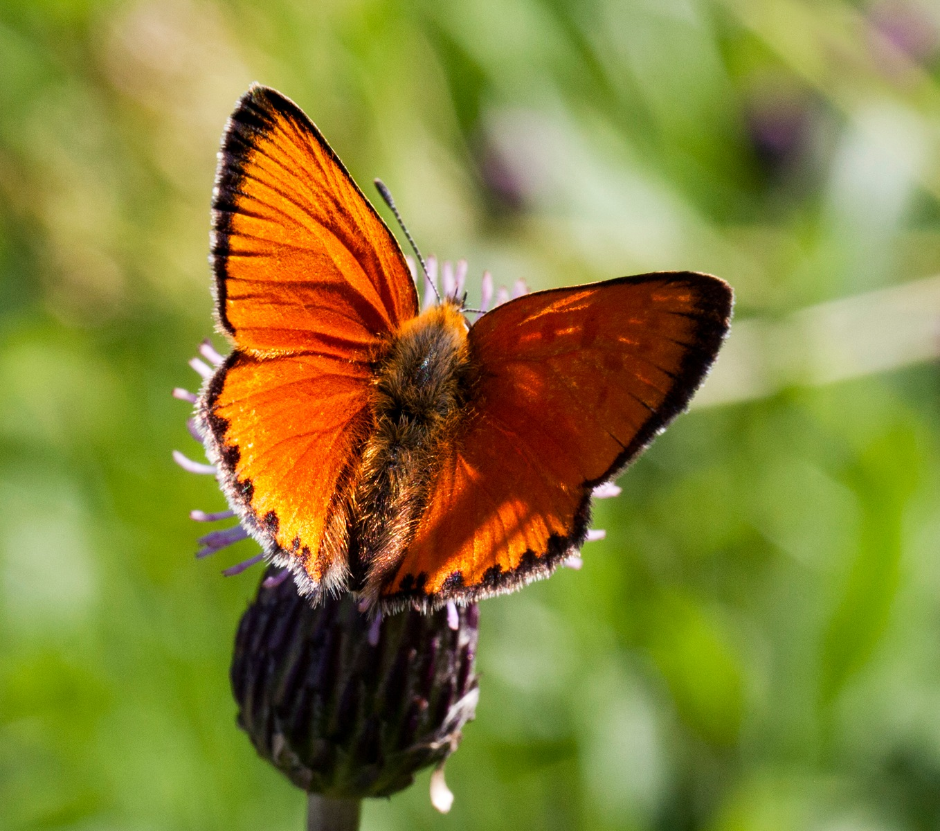 Scarce Copper, male by Paw