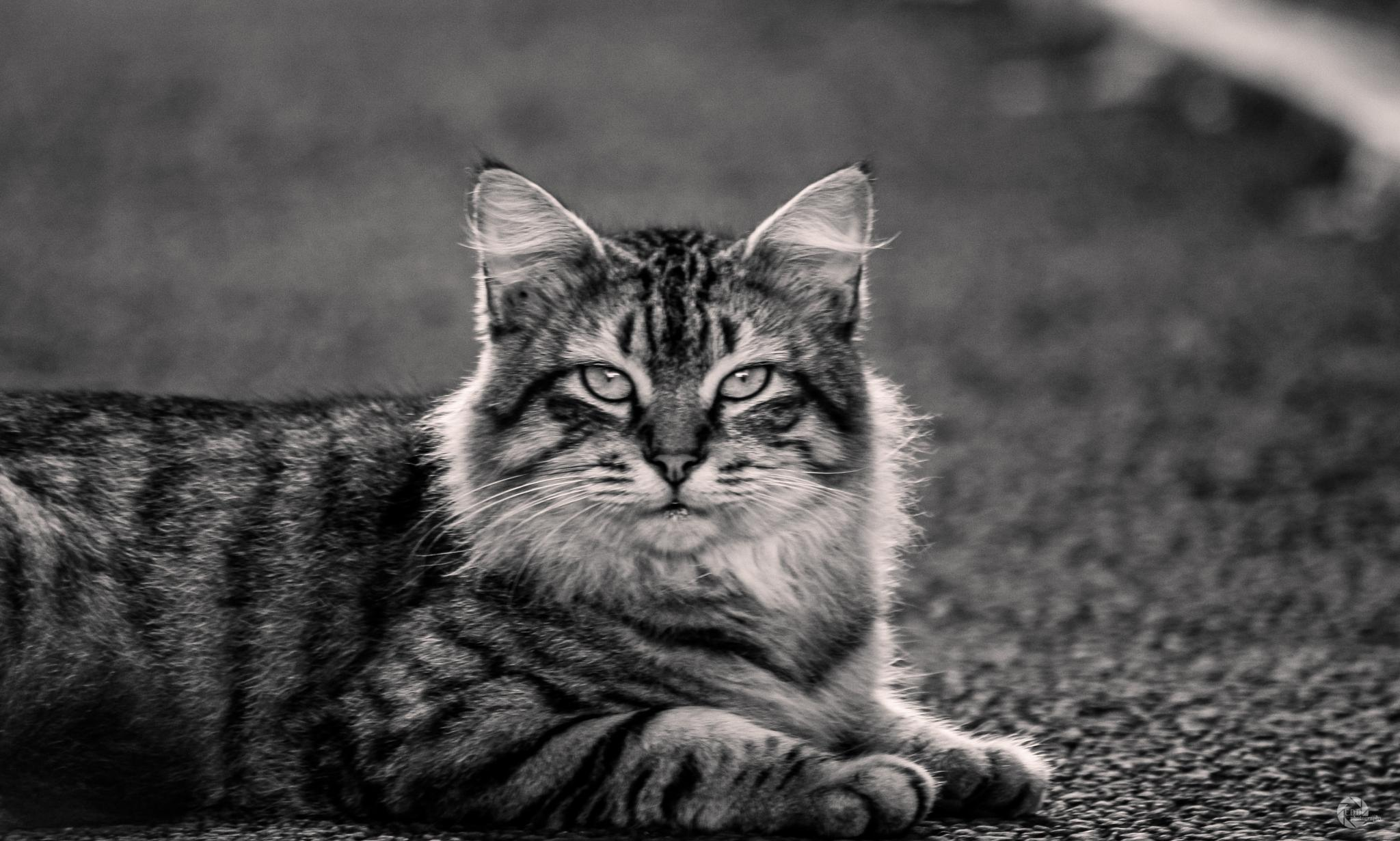 Miaow The Cat by Eshveen Dabee