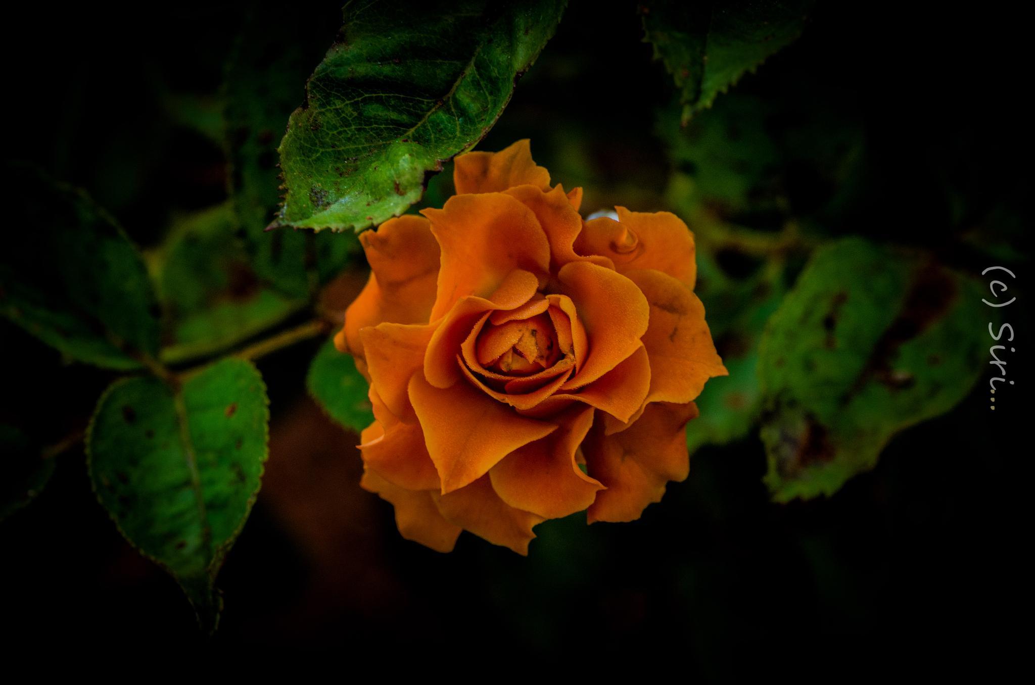 ROSE ROSE by raghuram0102
