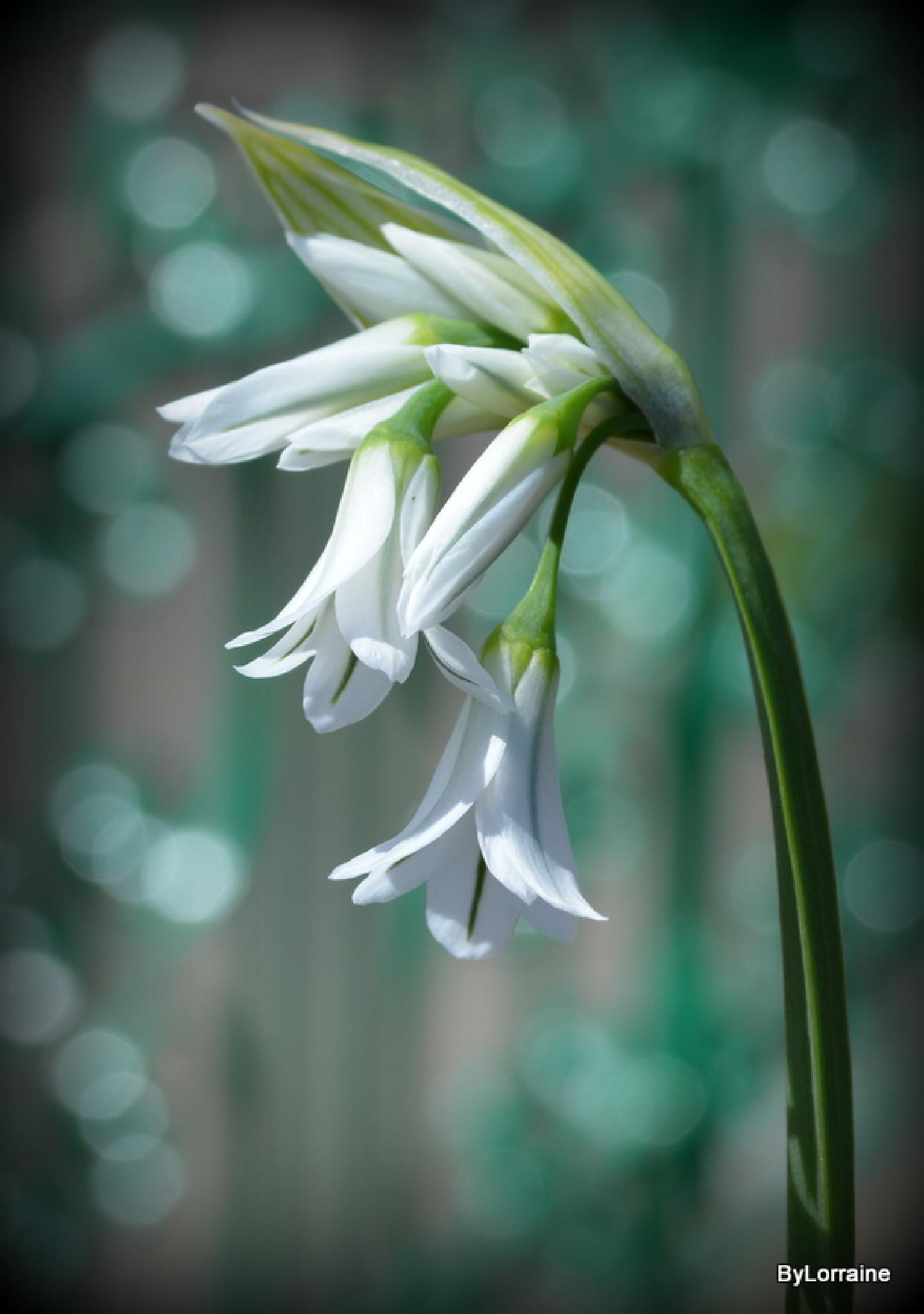 Garlic Flowers by Lorraine. Sgt