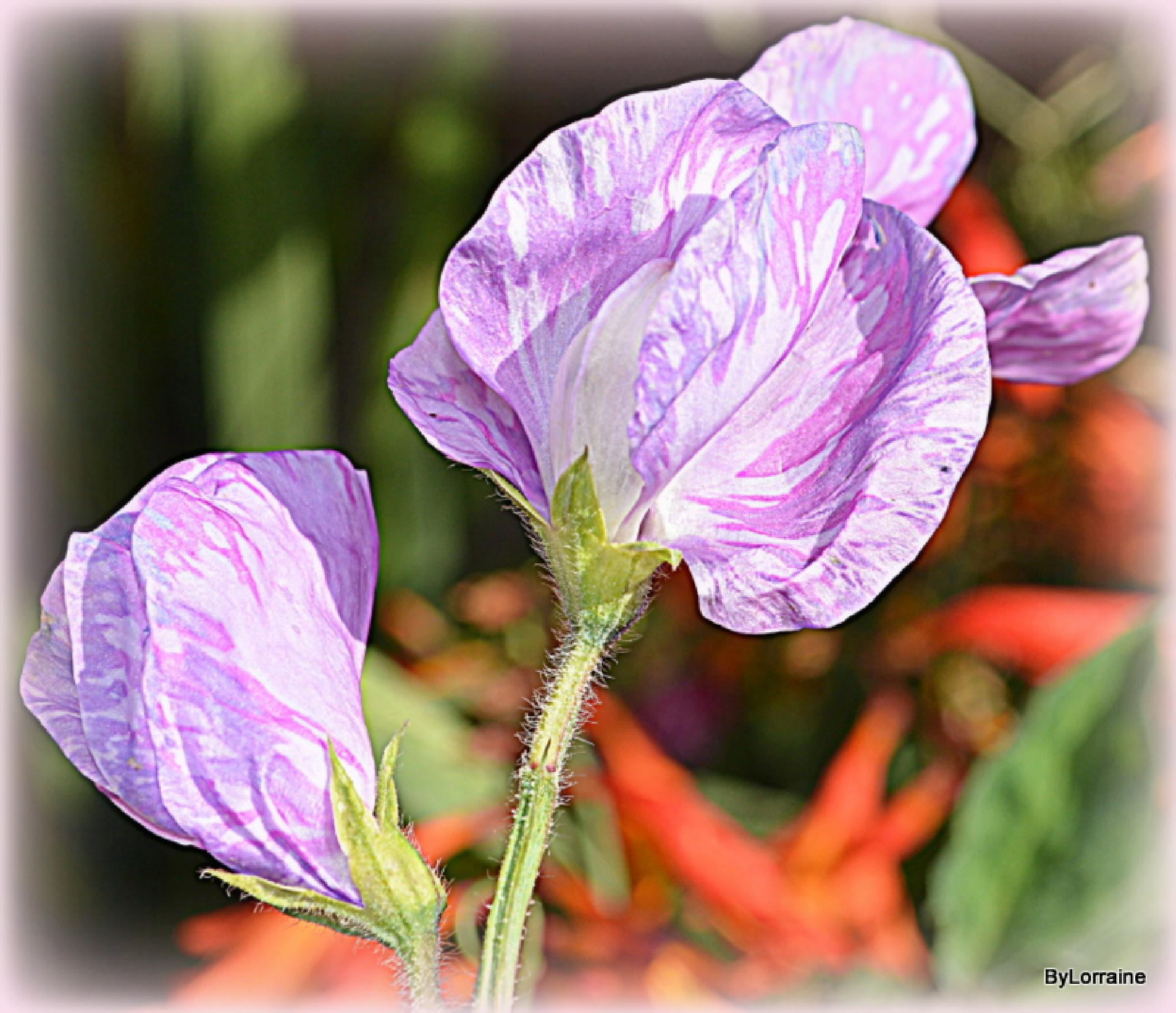 Sweet pea flowers by Lorraine. Sgt