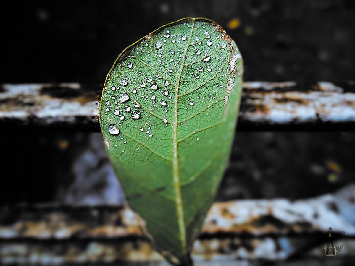 Macro-Rain Drop Leaf-0333 by ЯΔJJIБ'S PЂØŦØ