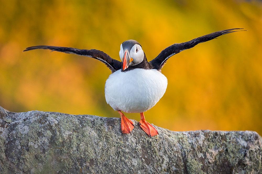 Lunnefågel by fyranmattsson