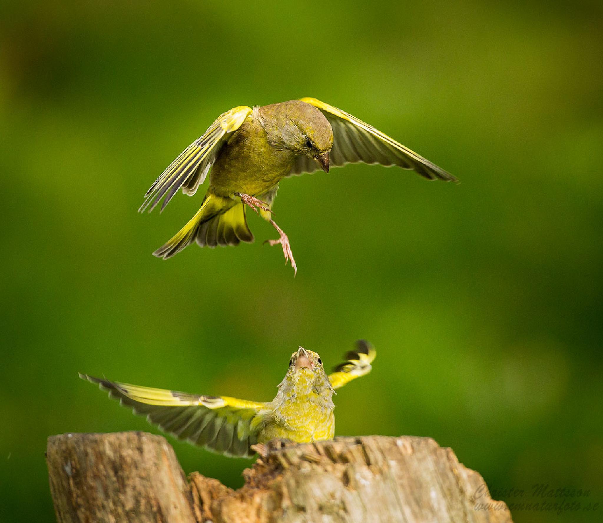 Greenfinch by fyranmattsson