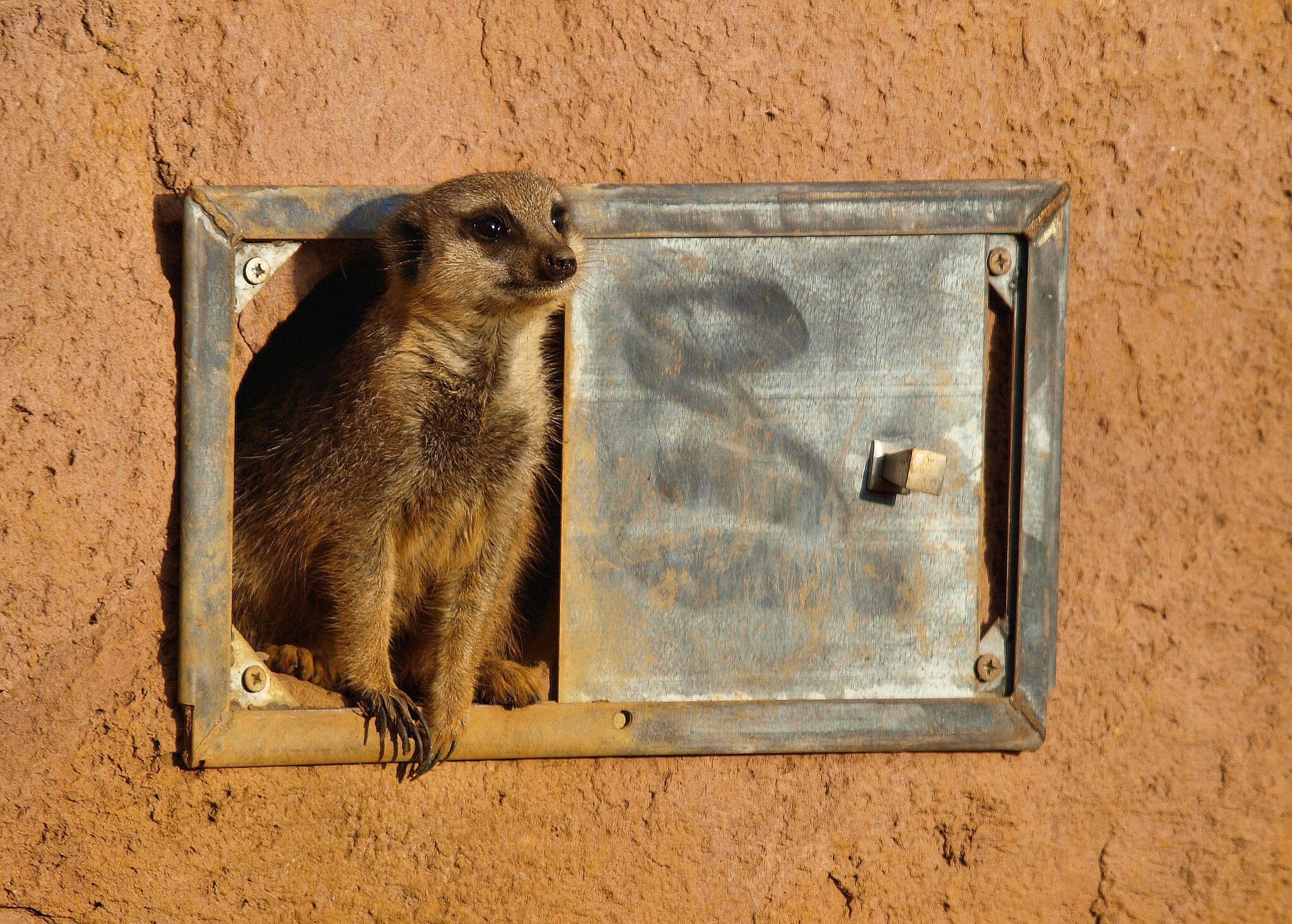Meerkat by timpreston