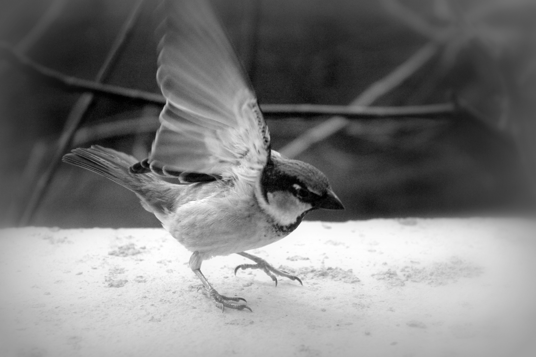 Photo in Black and White #bird #animal