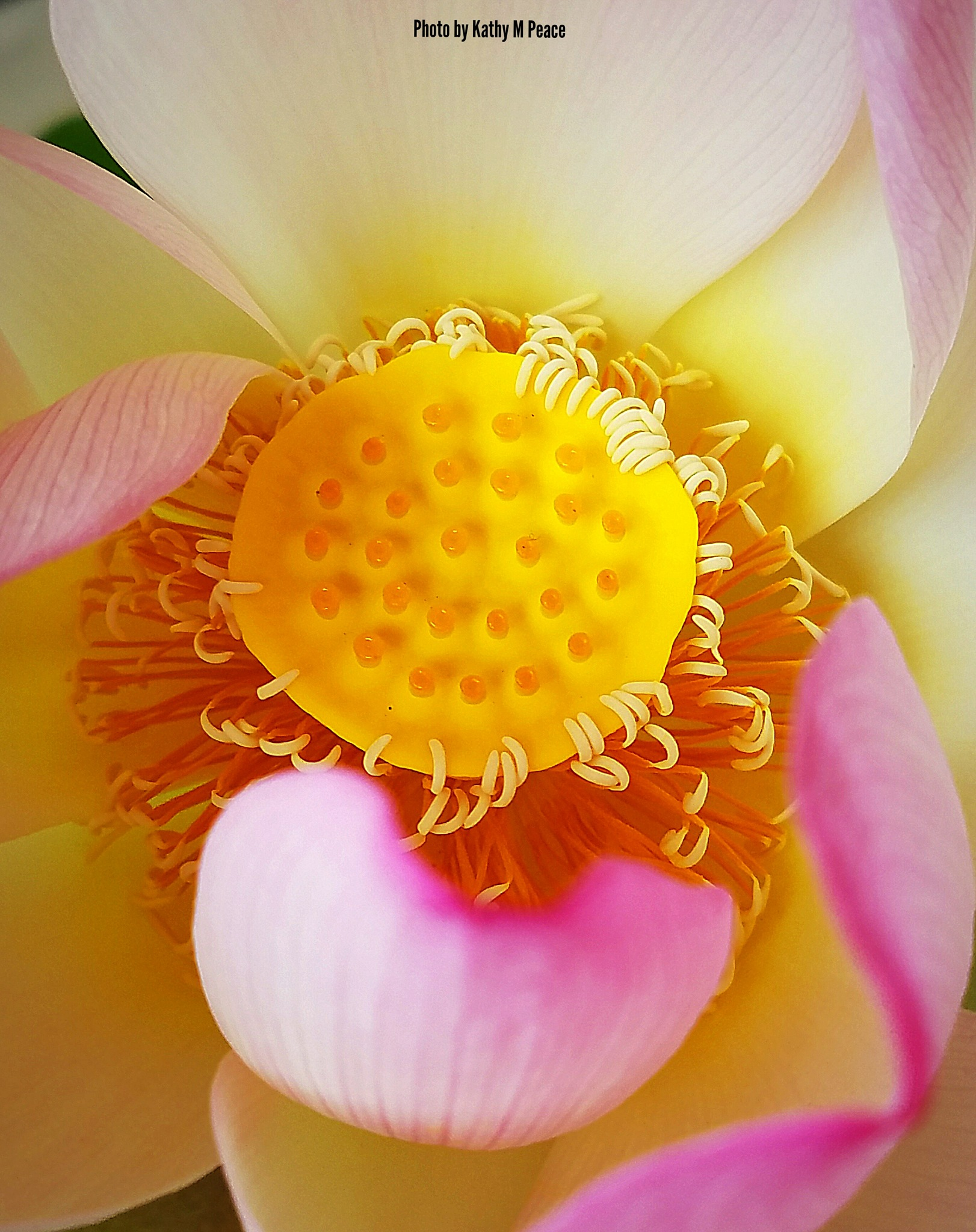 inside of a lotus flower II by kathy.peace.3