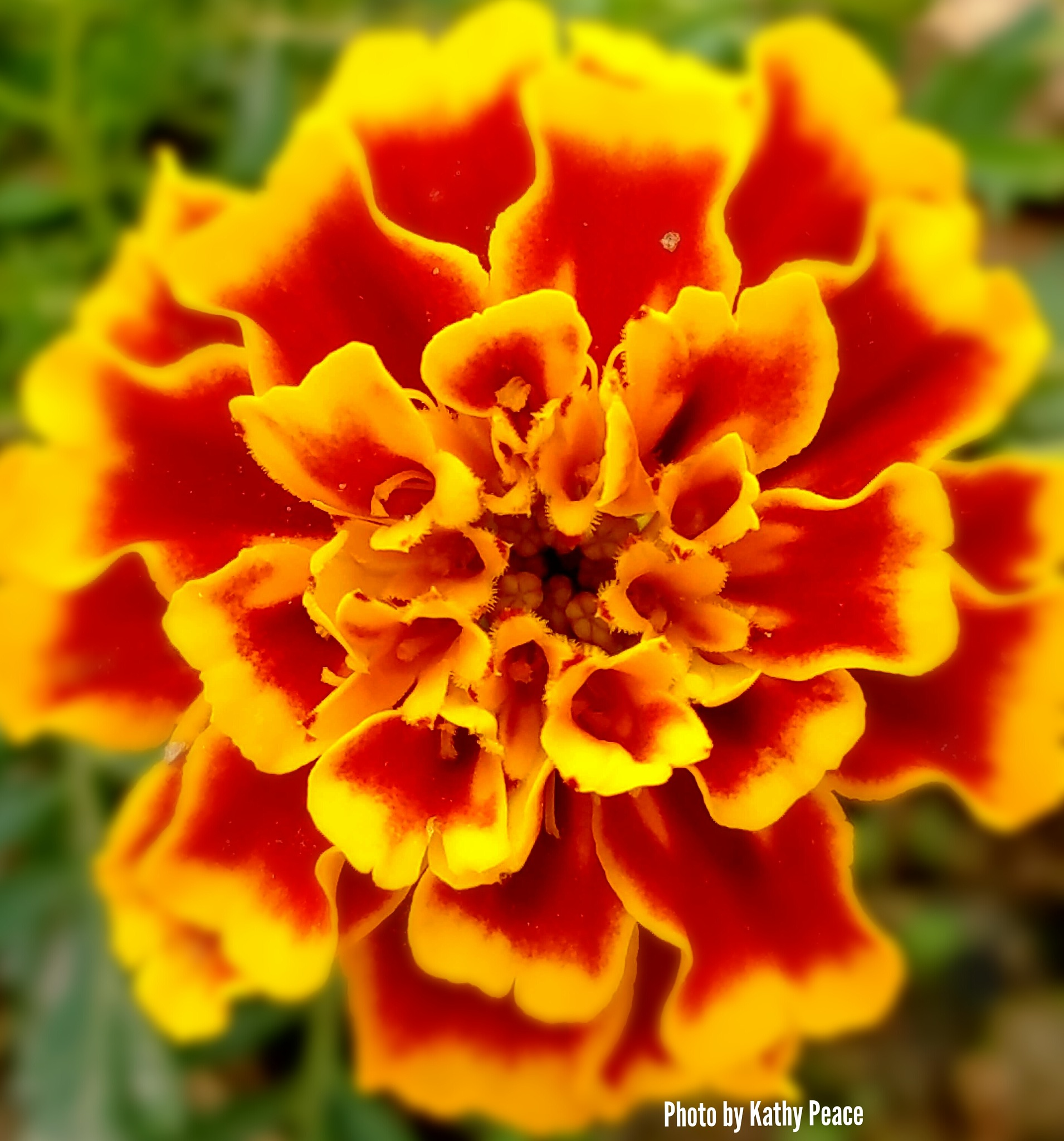 marigold on fire by kathy.peace.3