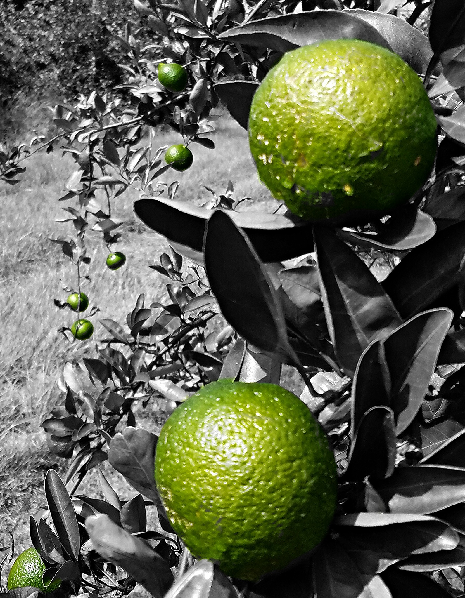 satsuma orchard about to ripen by kathy.peace.3