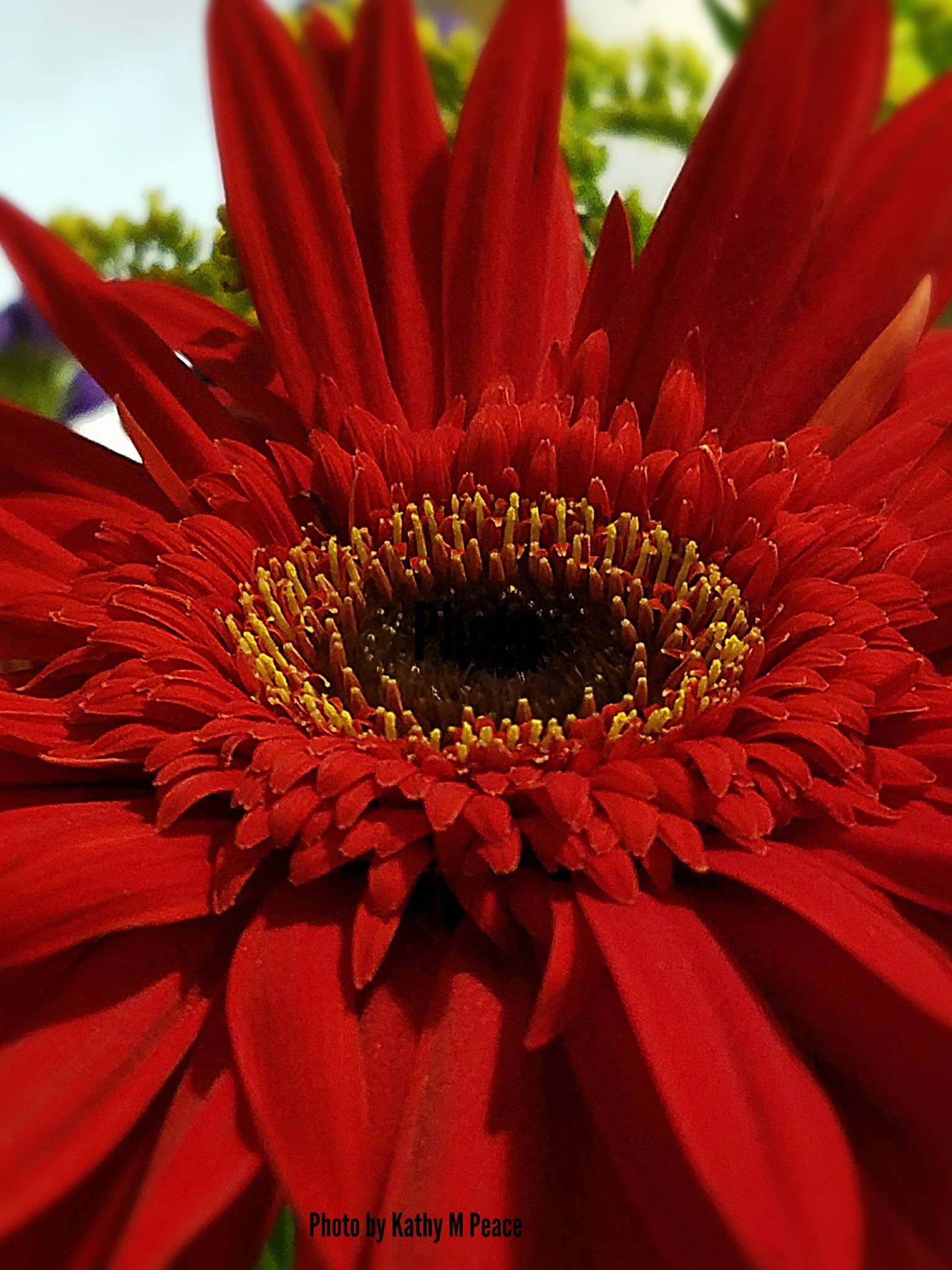Ruby the gerber daisy by kathy.peace.3