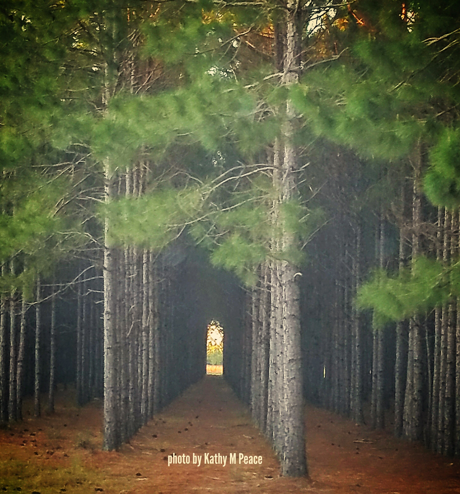 light on the other side of a glade of pines by kathy.peace.3