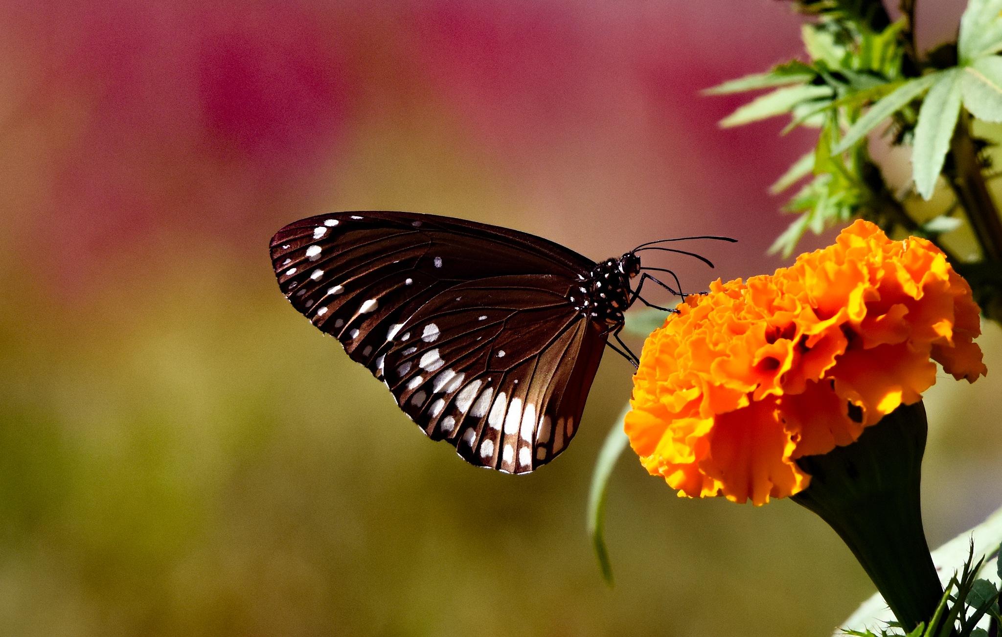 Butterfly by Satya