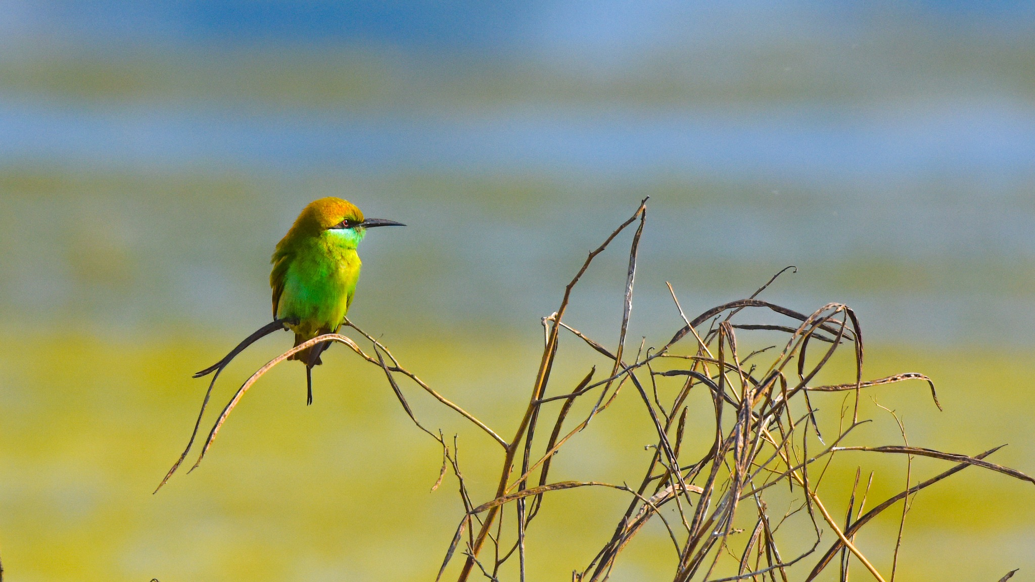 bee eater by Satya