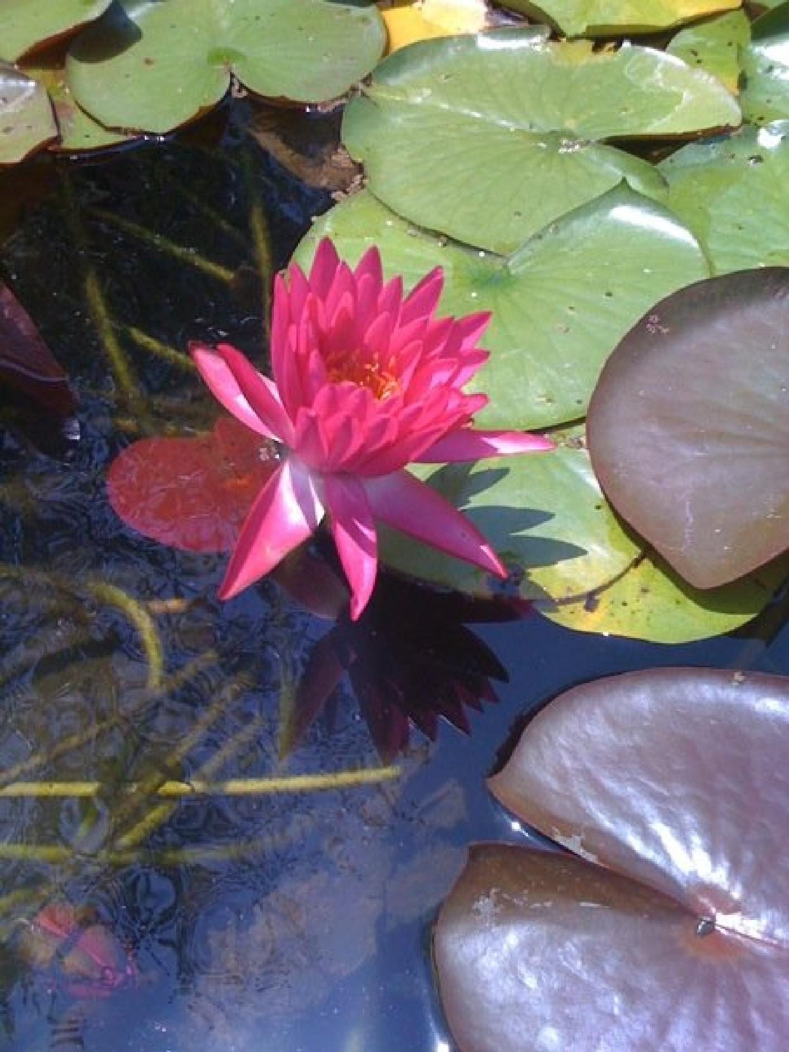 Lilypad Flowers by AllySylum