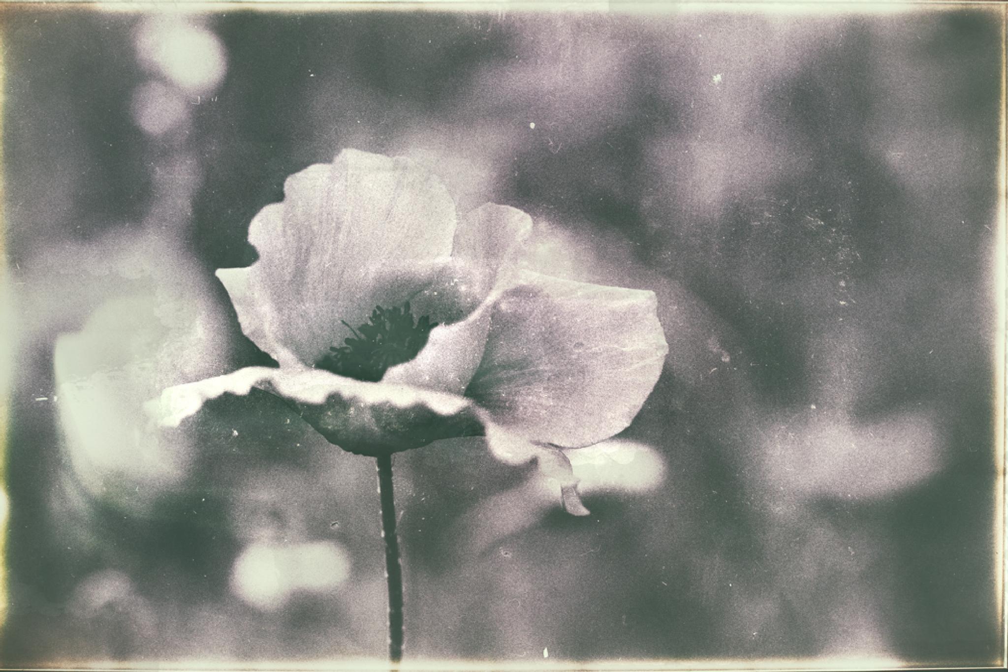 Surreal poppy by Zsoka Lorincz