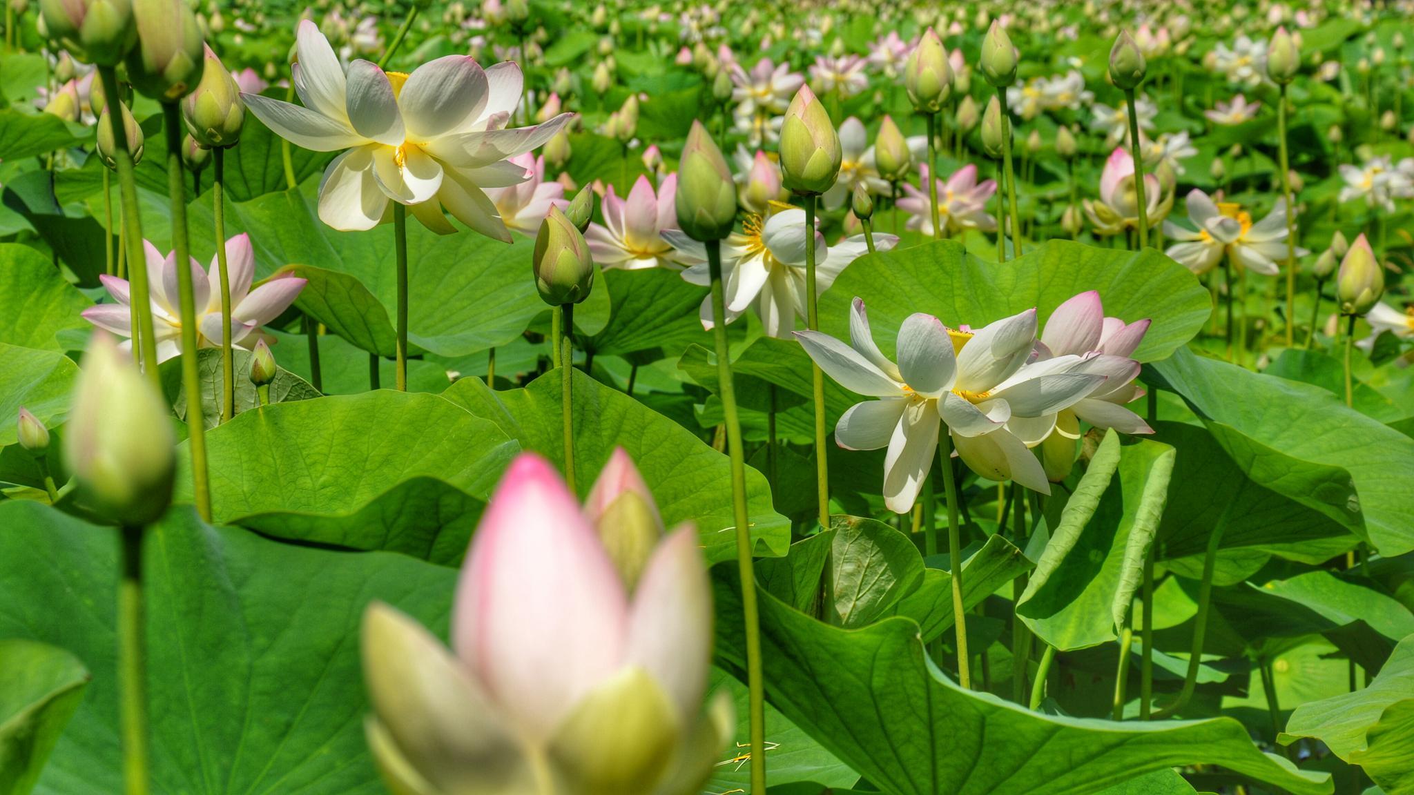 Lotus en fleurs by Jérôme Birling