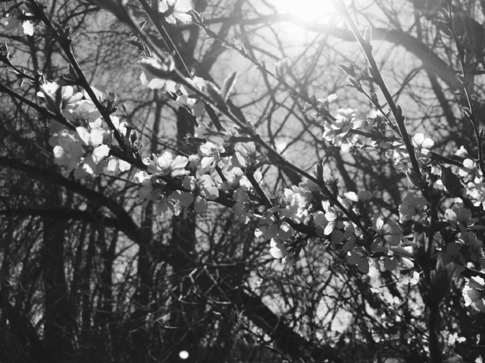 Crabapple Blossoms by rhonda.broich