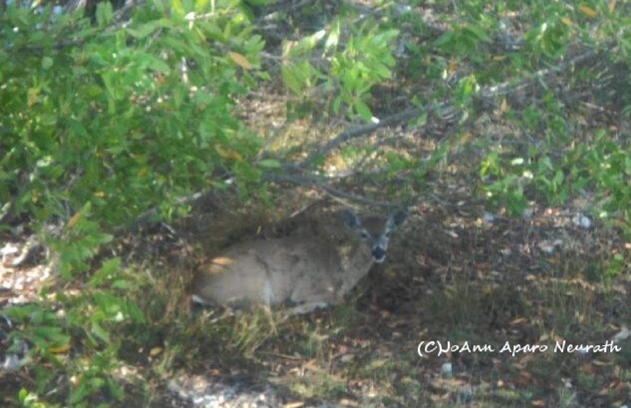 Key Deer resting by JoAnn.Aparo.Neurath