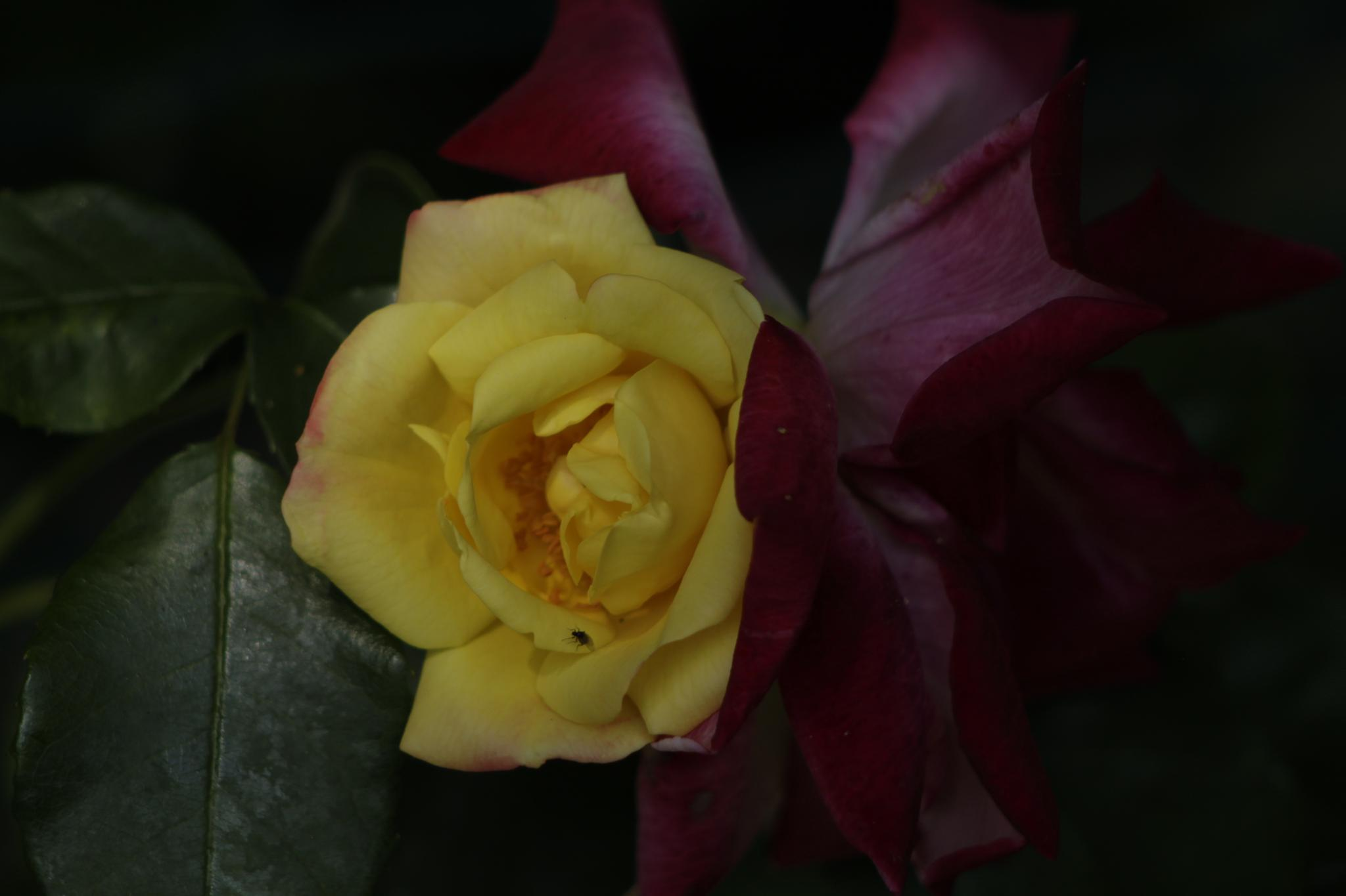 Rose by ashley.cox.1806