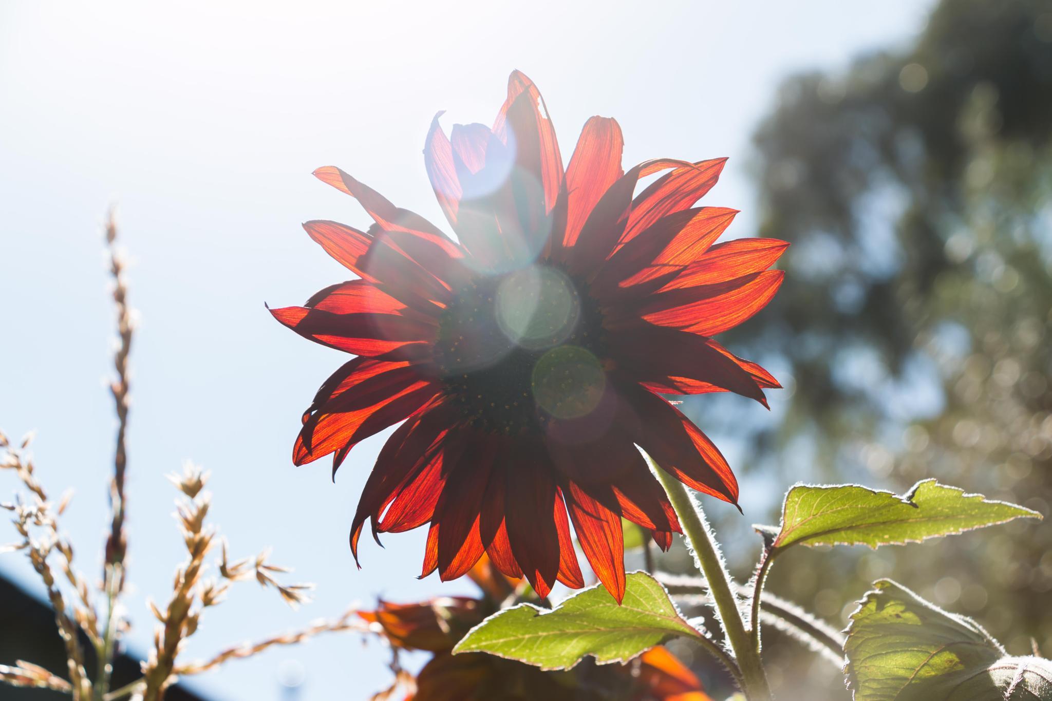 sun flower solar flare by tastigr